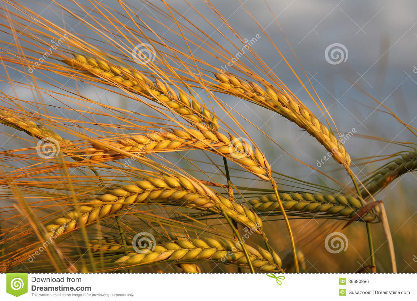 反对剧烈的云彩的金黄大麦耳朵