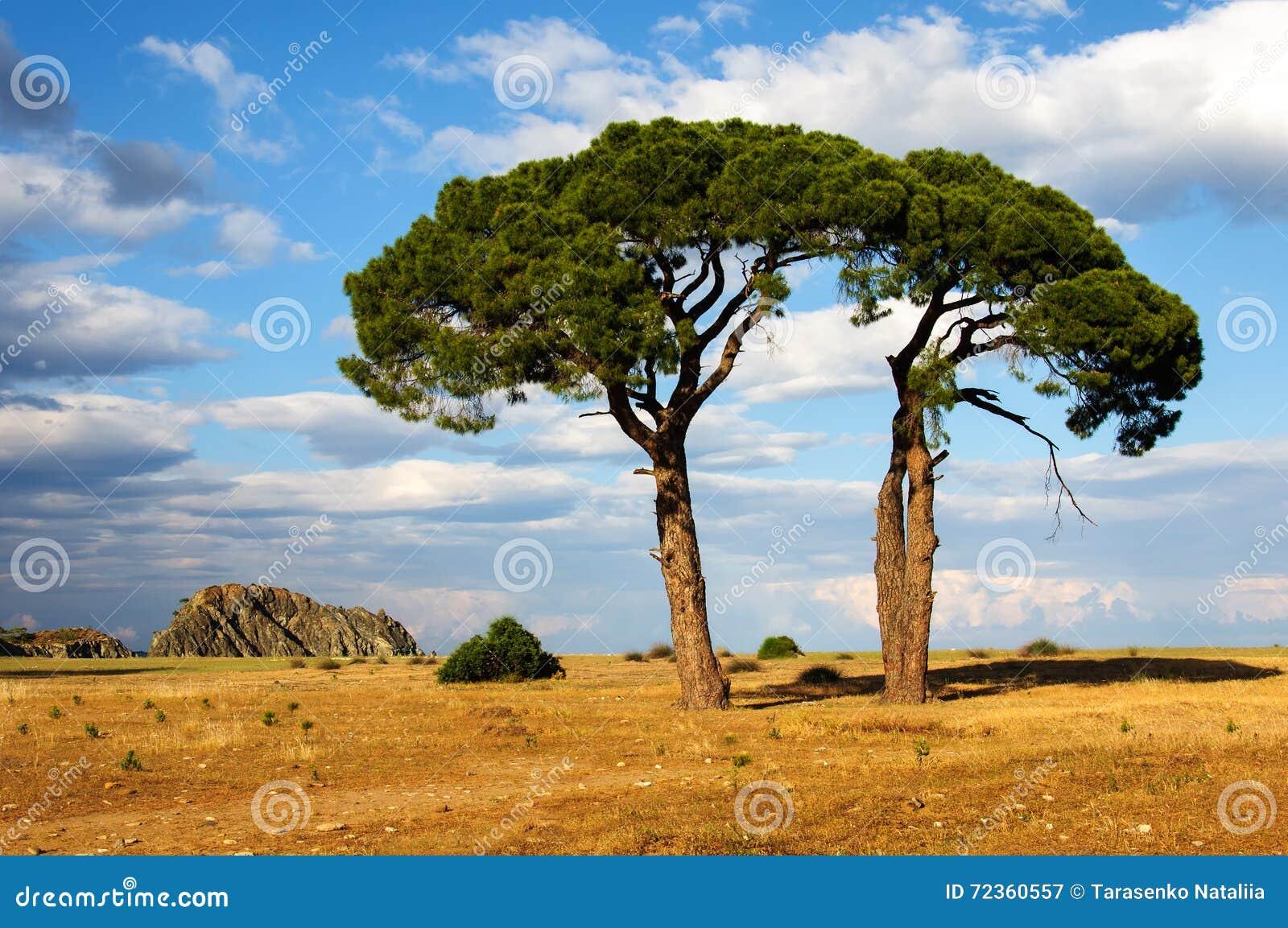 反对天空的两棵杉树在日落