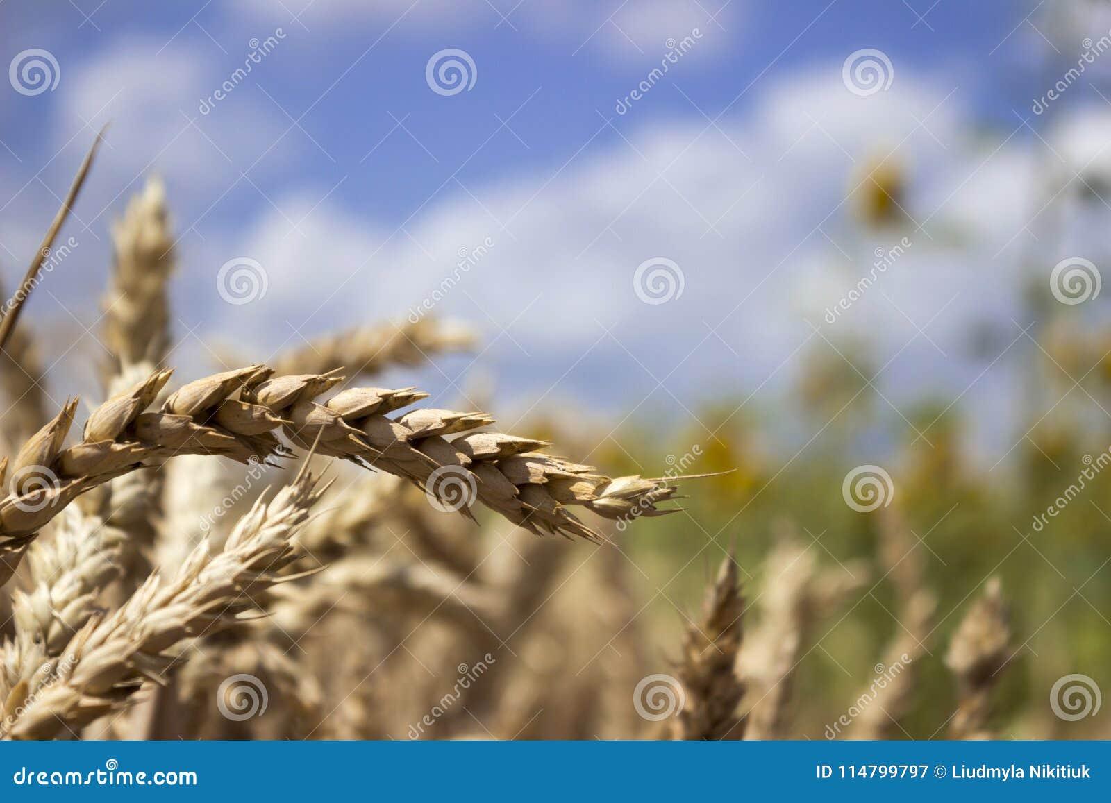 反对蓝天的成熟麦田,晴朗的夏日 峰值