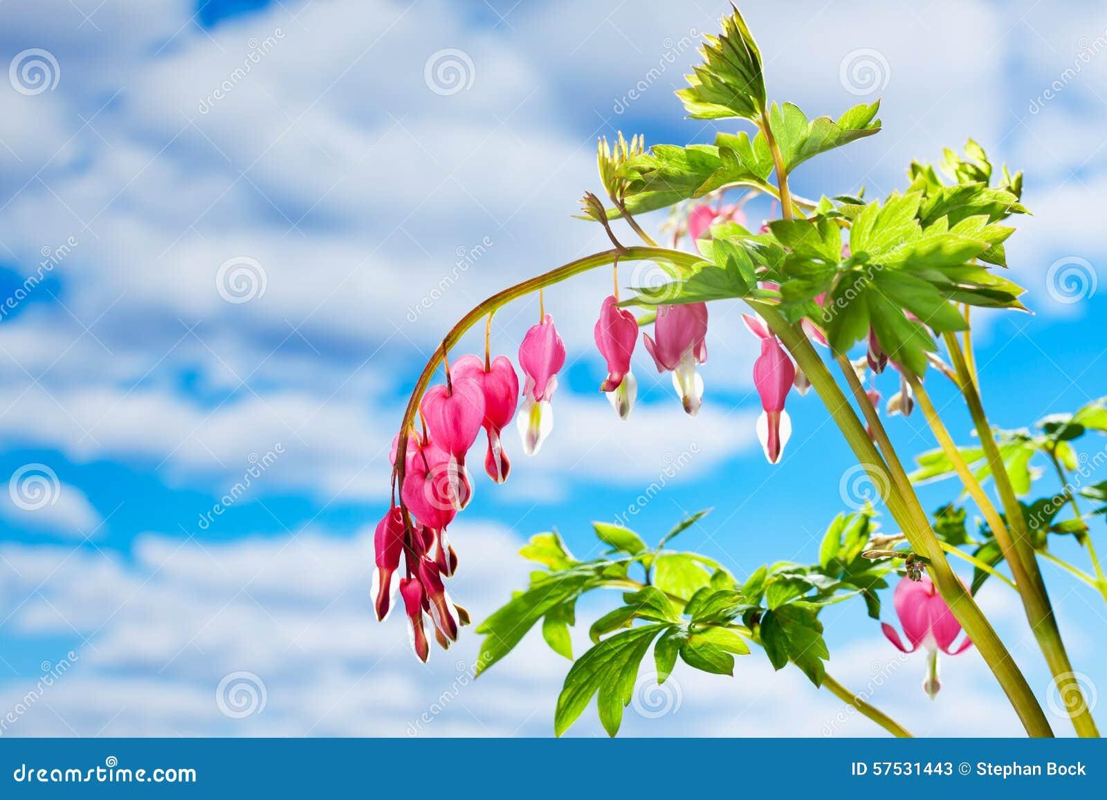 反对蓝天与云彩,被弄脏的背景的红色里拉琴花.图片