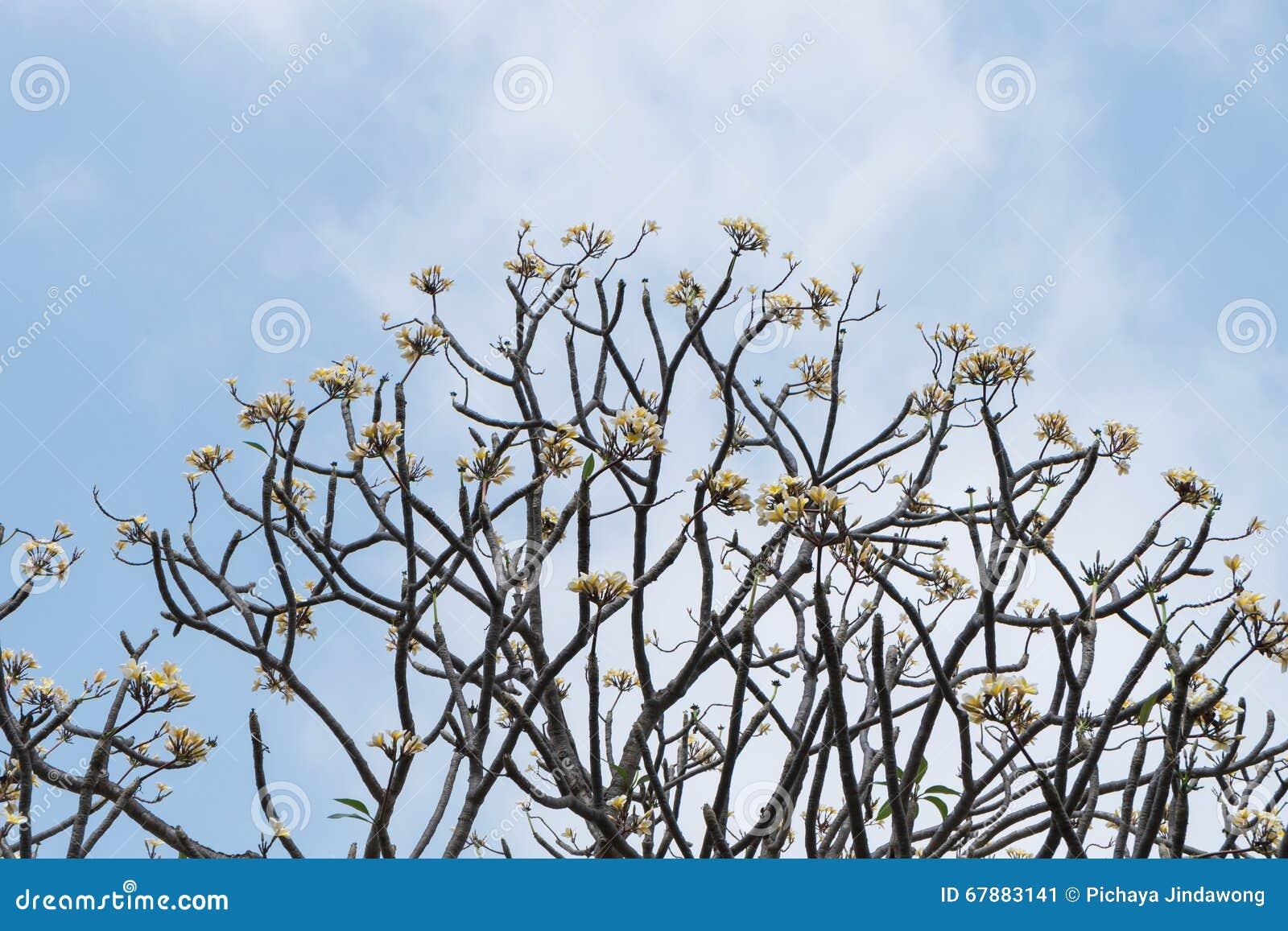 反对蓝天的赤素馨花树在泰国