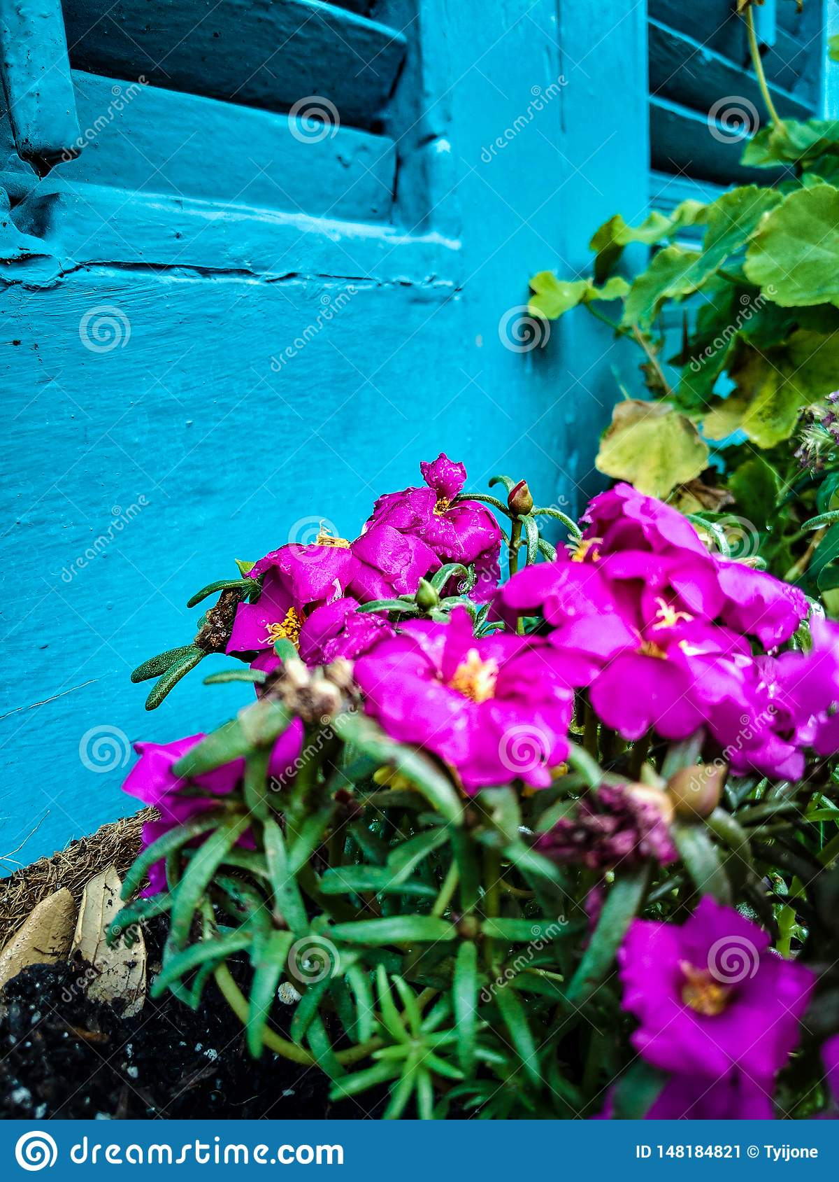 反对蓝色发抖的桃红色花