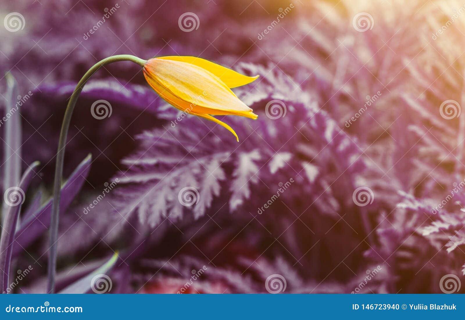 反对超现实的紫色背景的一黄色野生郁金香