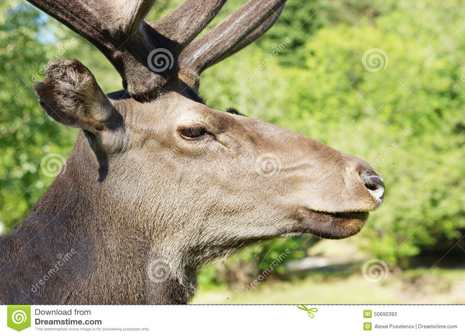 Download 反对绿色叶子的野生马鹿 库存图片. 图片 包括有 自然, 红色, 夏天, 西伯利亚, 成块, 晴朗, 通配 - 50690393