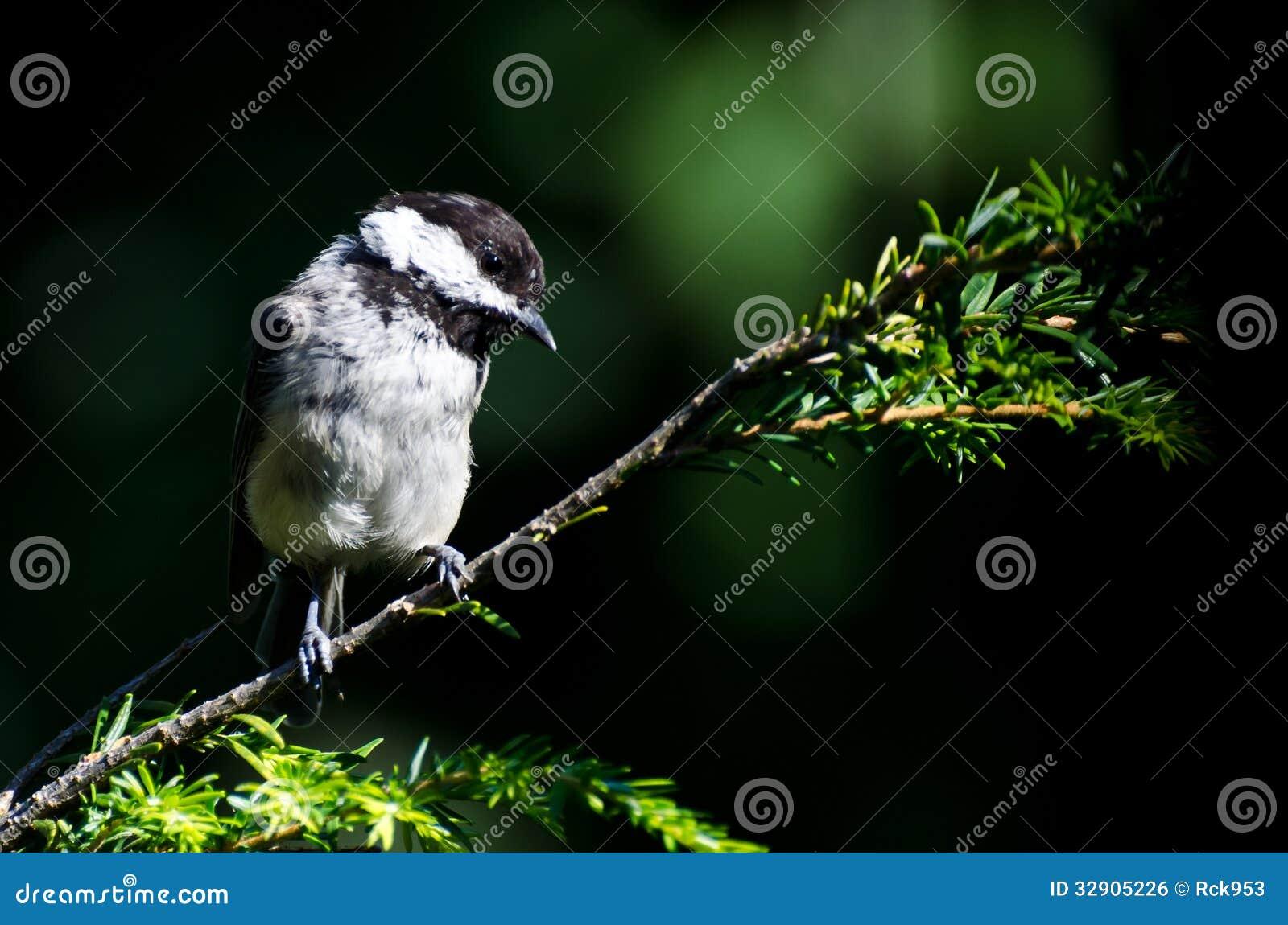反对绿色山雀的黑加盖的性情兔狲背景图片