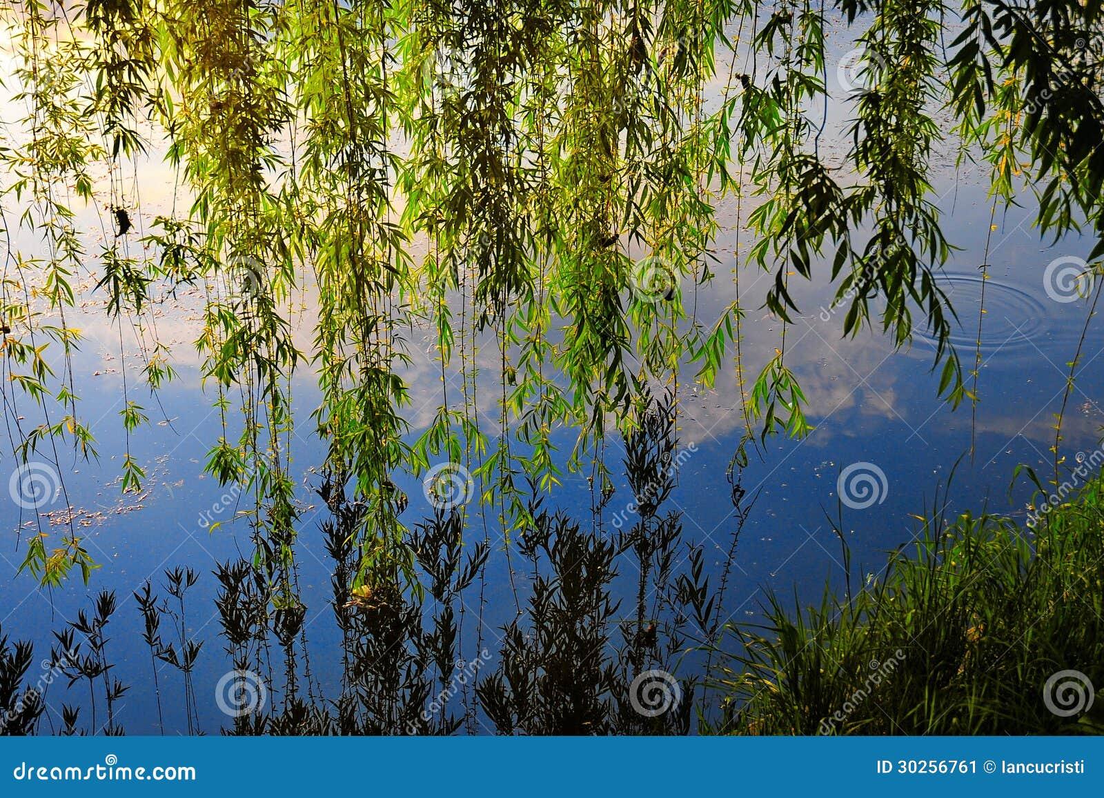 反射入河的镇静水的垂柳树