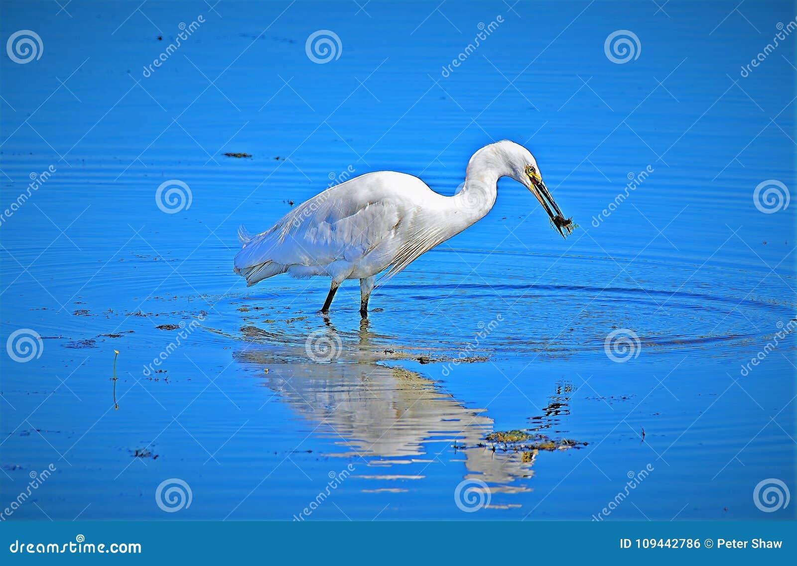反射在最近抓住的白鹭