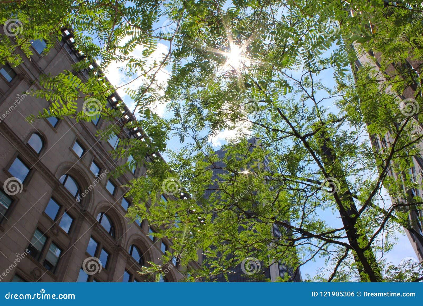 发光通过树一个精美机盖的太阳位于街市蒙特利尔,加拿大,伴随于附近的大厦