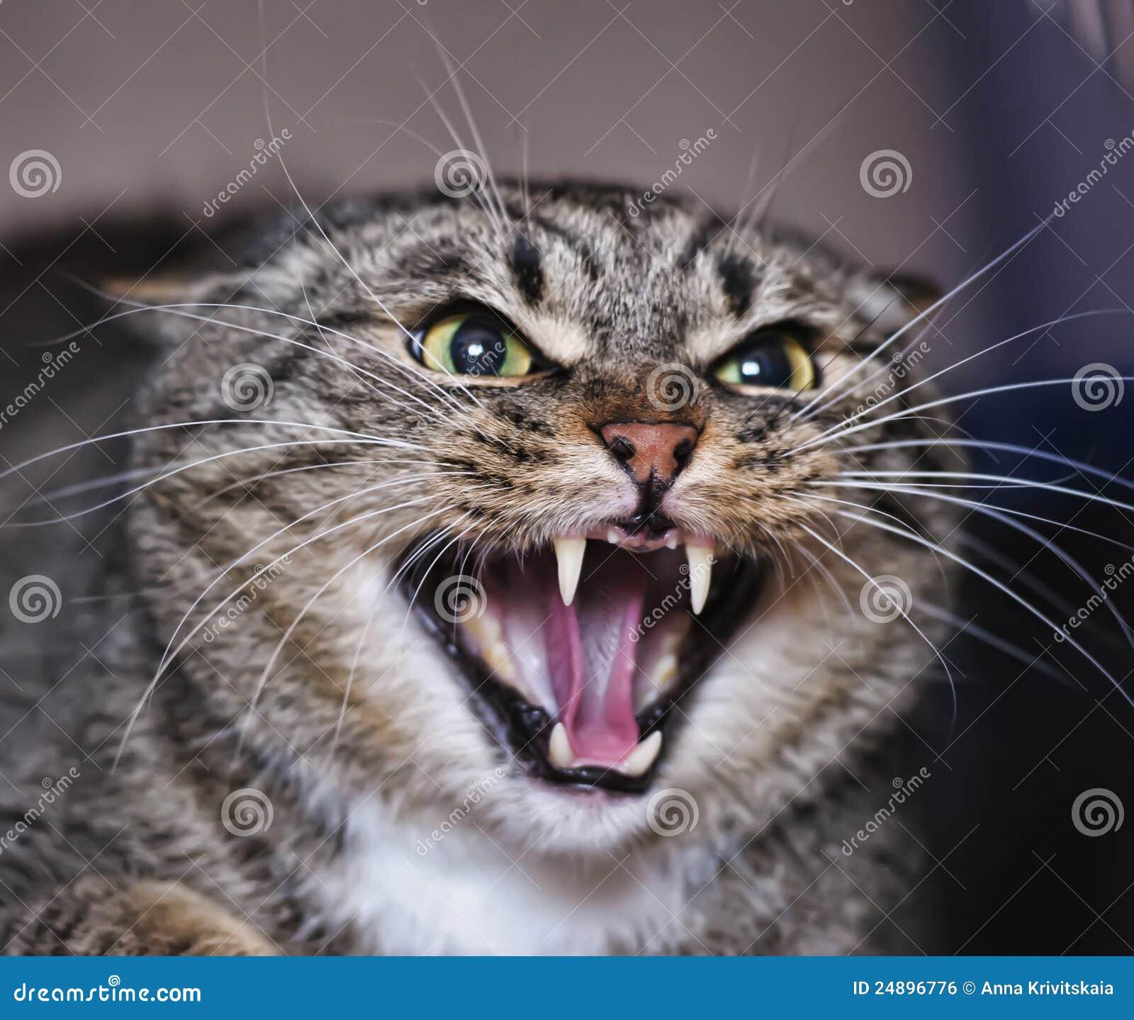 发出嘘声的猫