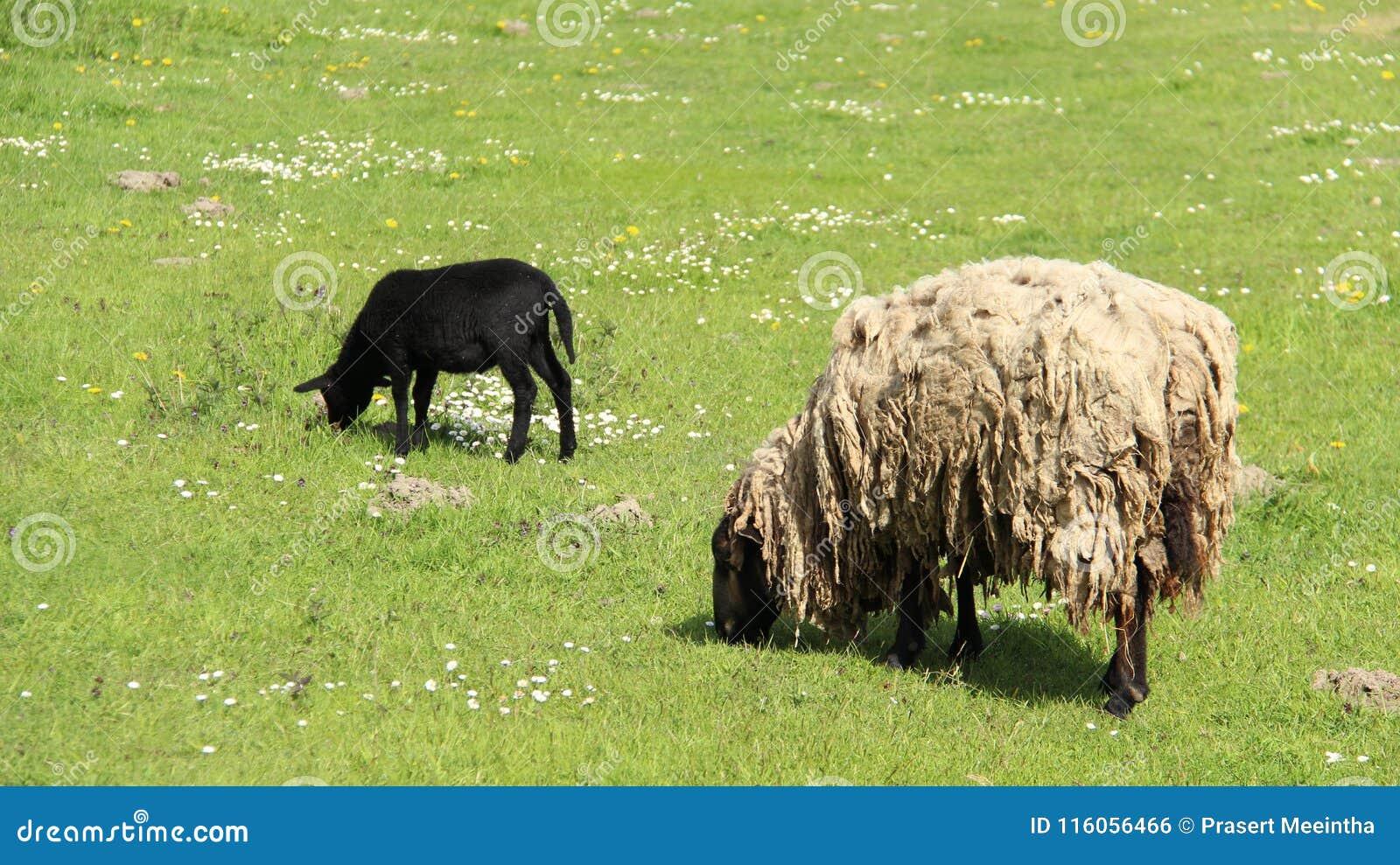 发咩声灯和母亲绵羊吃草充满幸福