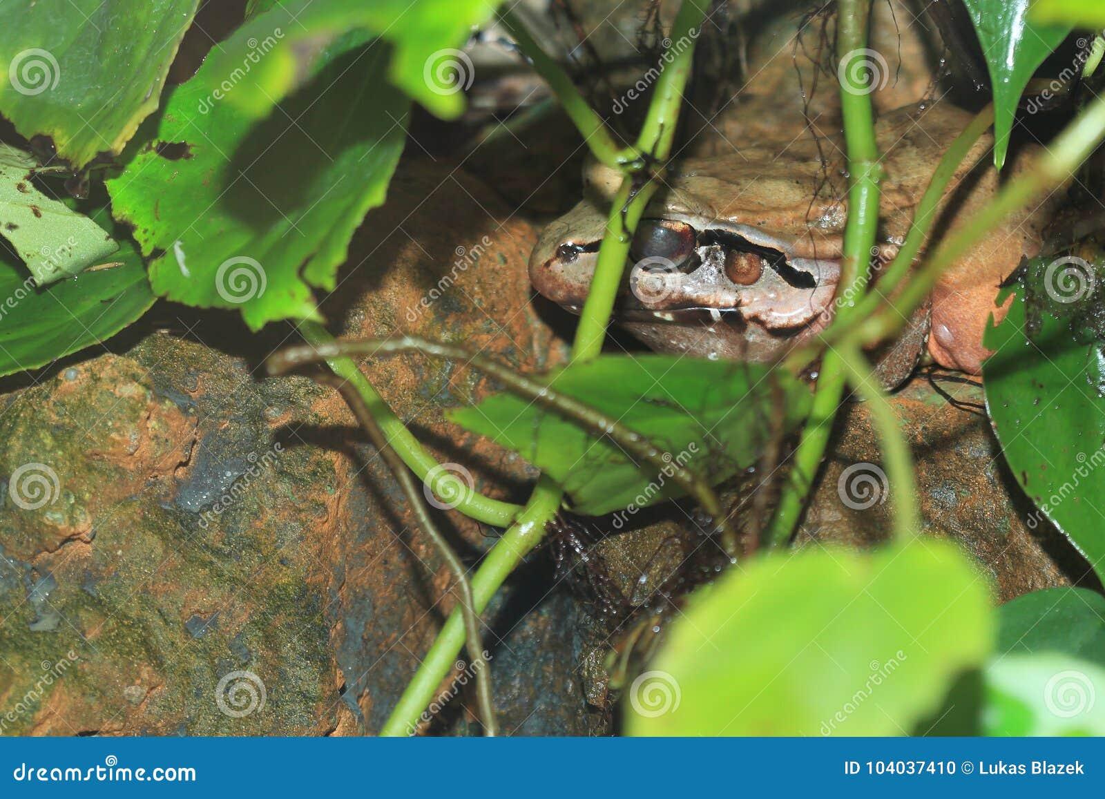 发烟性青蛙的密林