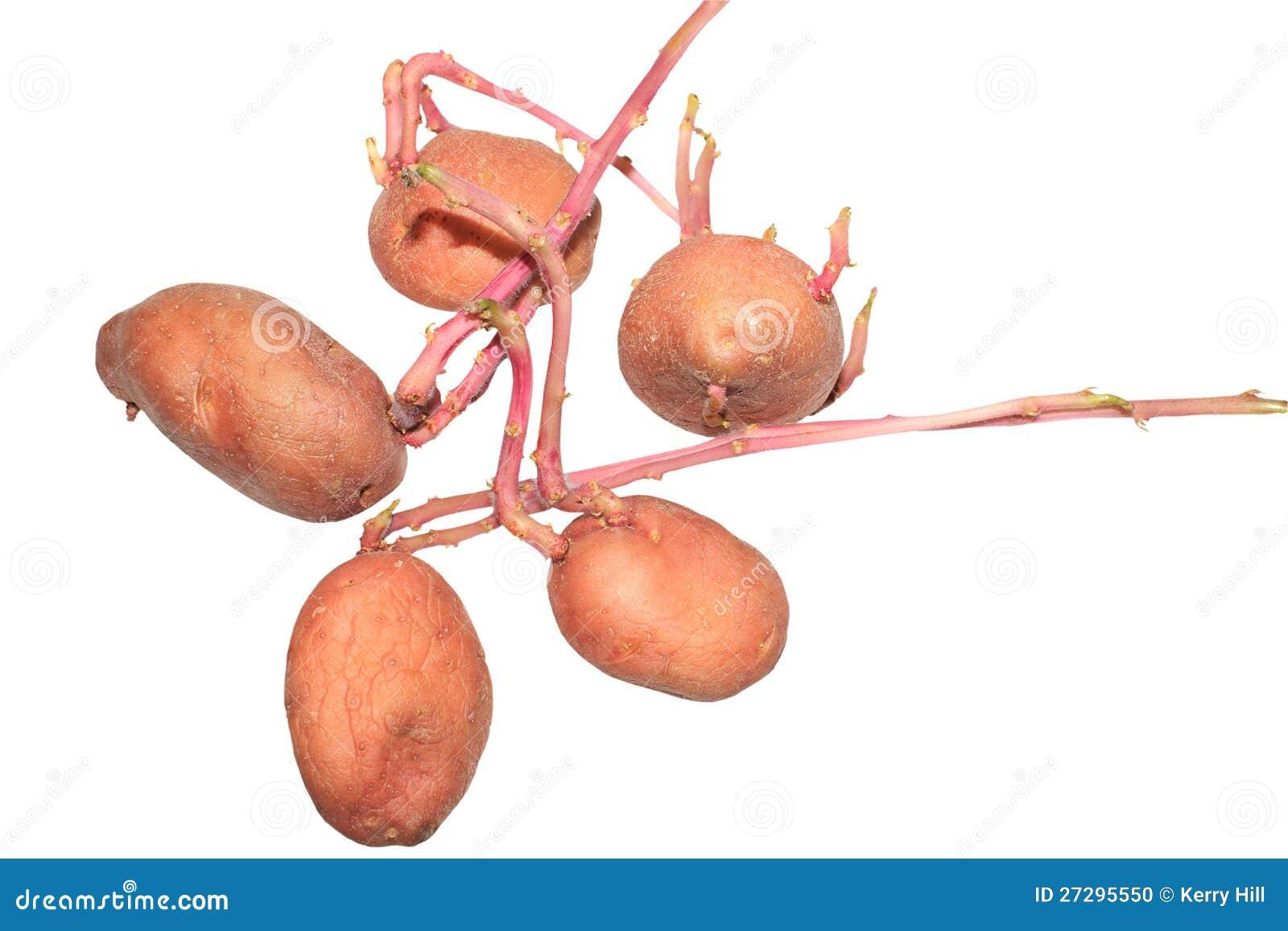 发芽土豆 库存照片 - 图片: 27295550图片