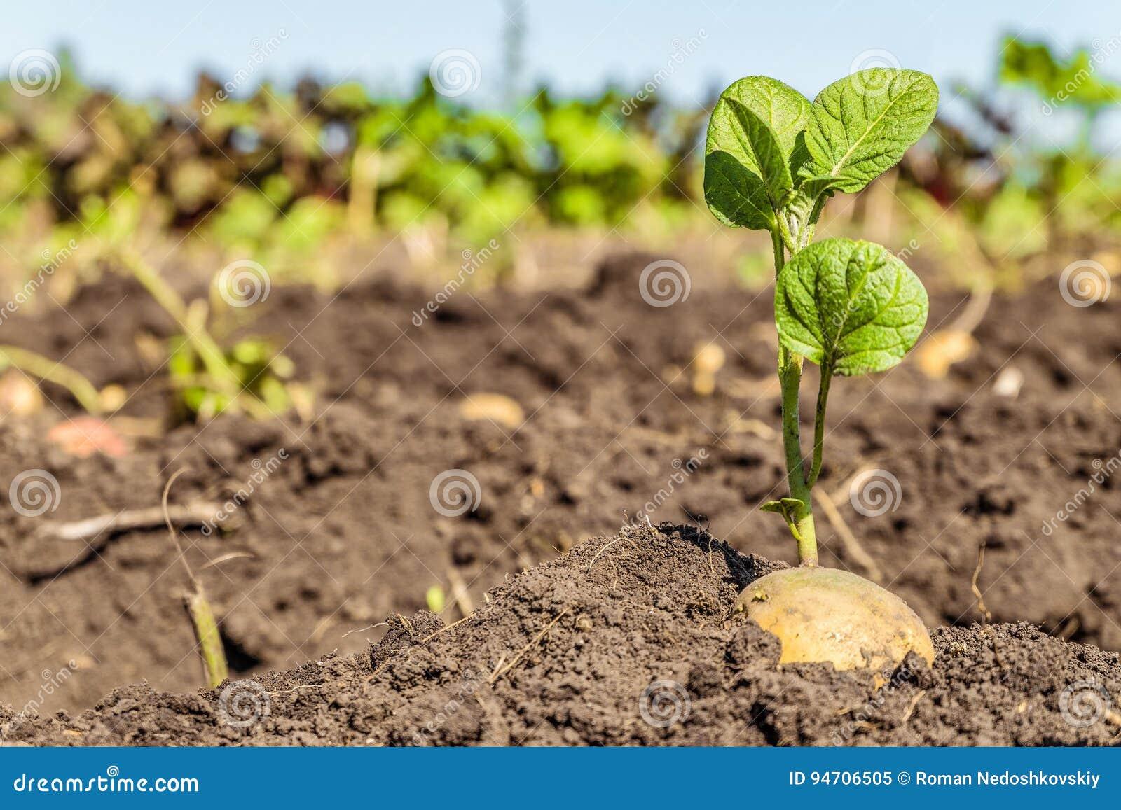 发芽的土豆肿胀 土豆种子绿色射击在种植园的背景的