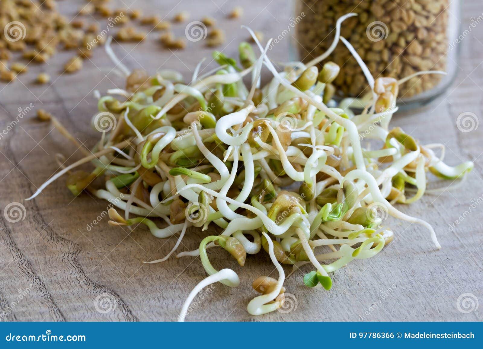 发芽的葫芦巴,与干燥胡芦巴籽在背景中