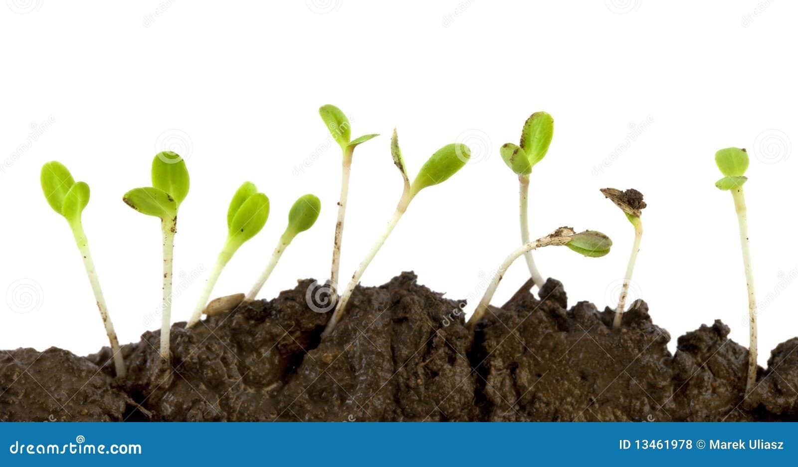 发芽莴苣种子