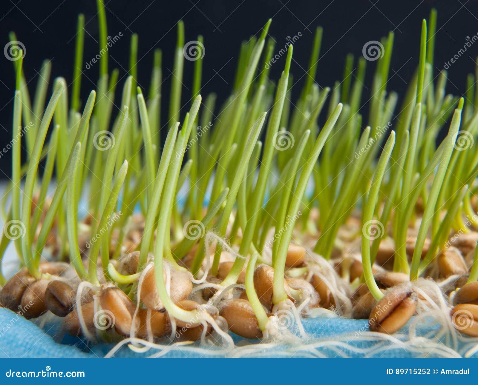 发芽麦子种子