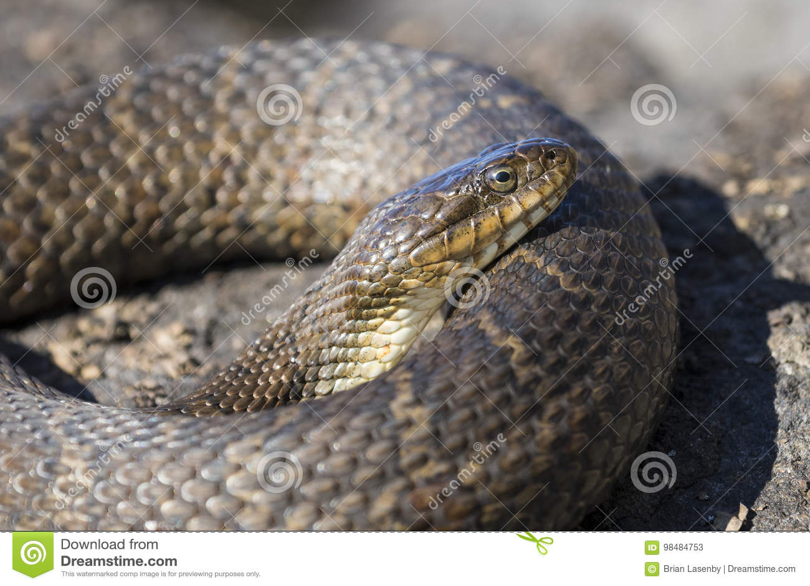取暖在岩石的北水蛇Nerodia sipedon sipedon