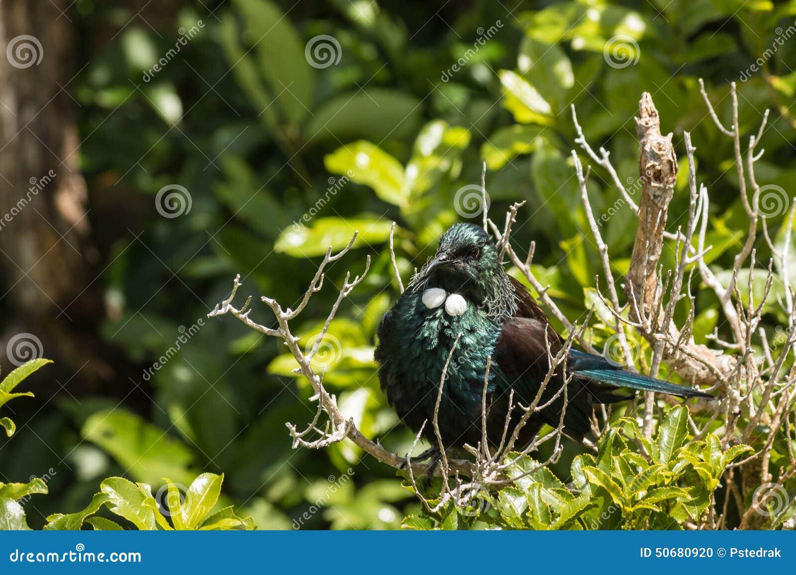 Download 取暖的tui鸟 库存照片. 图片 包括有 查出, 黑板, 呈虹彩, brander, 西兰, 结构树, 异乎寻常 - 50680920