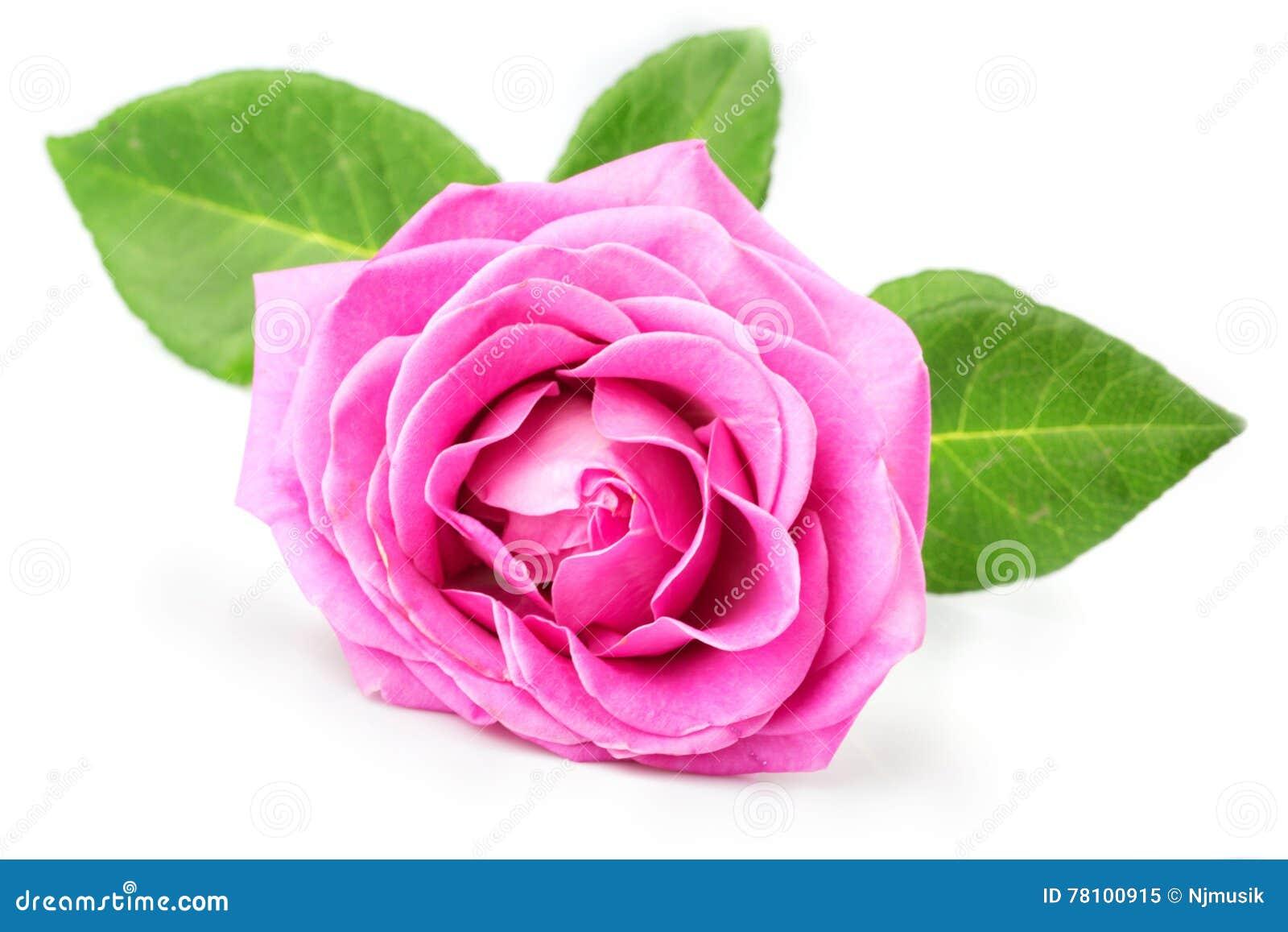 变粉红色玫瑰色