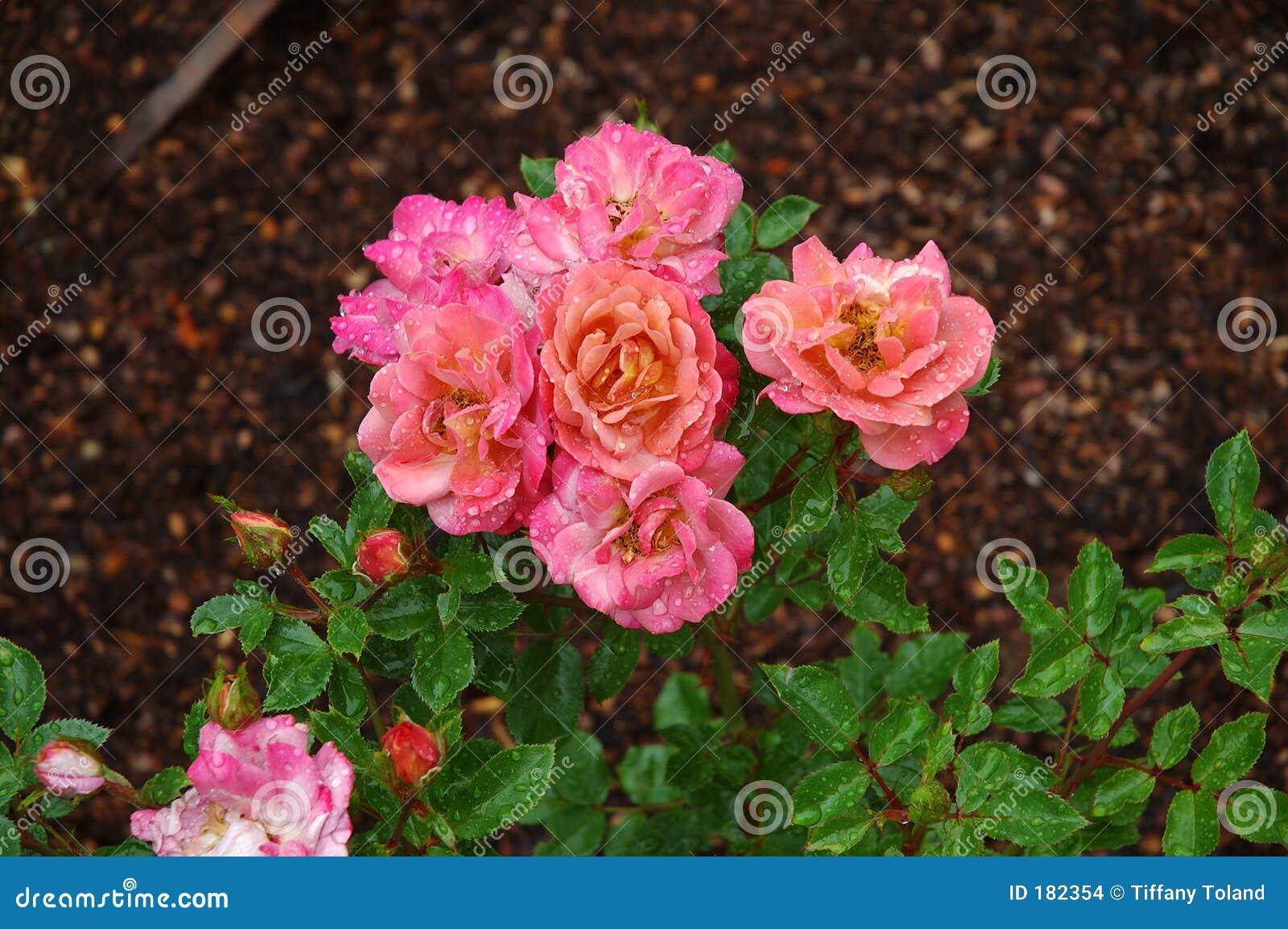 变粉红色玫瑰