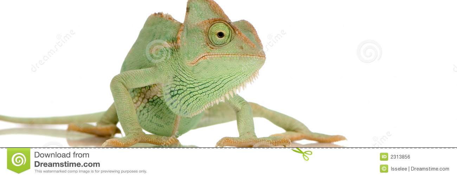 变色蜥蜴也门