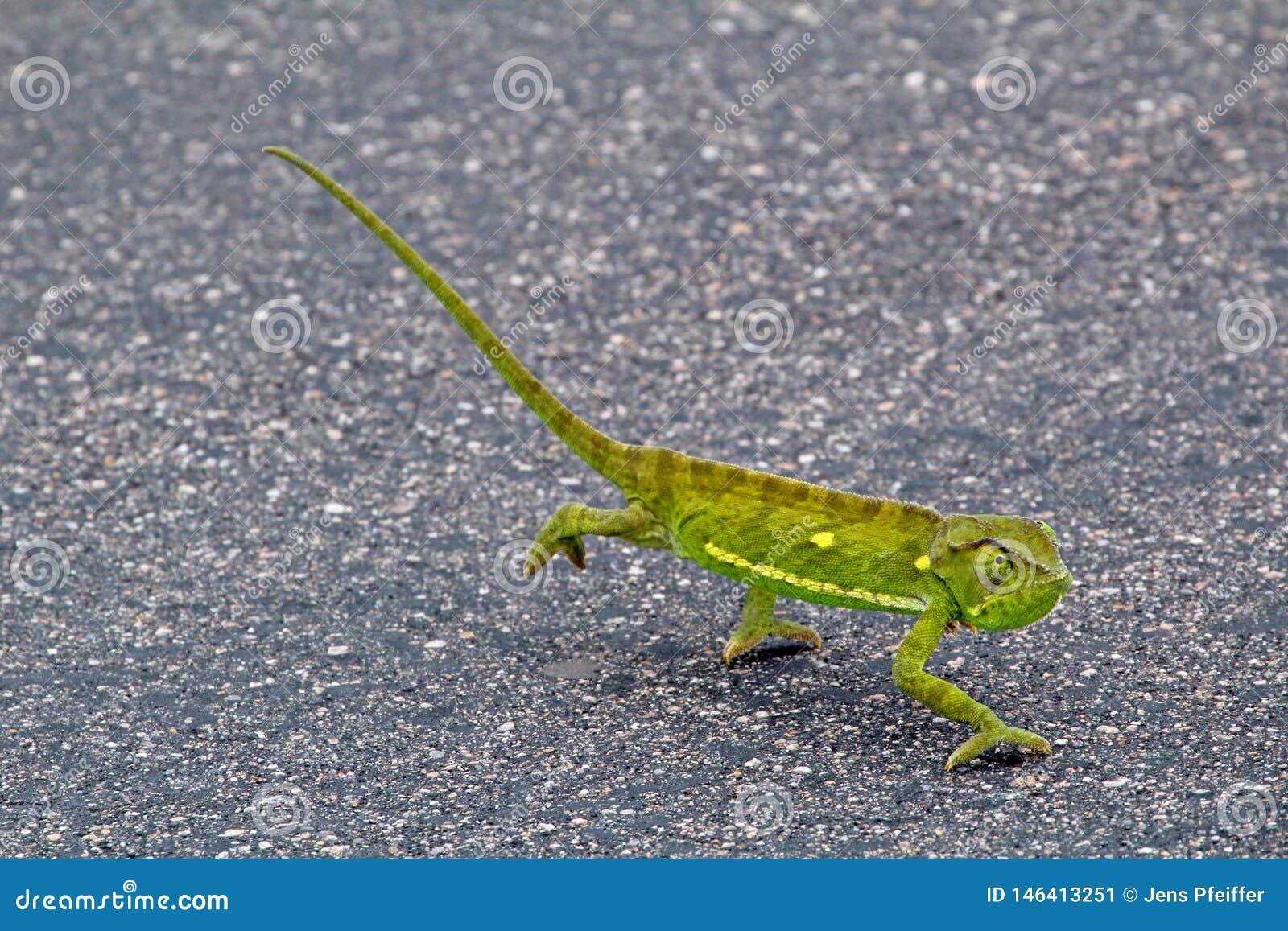 变色蜥蜴在克留格尔国家公园,南非