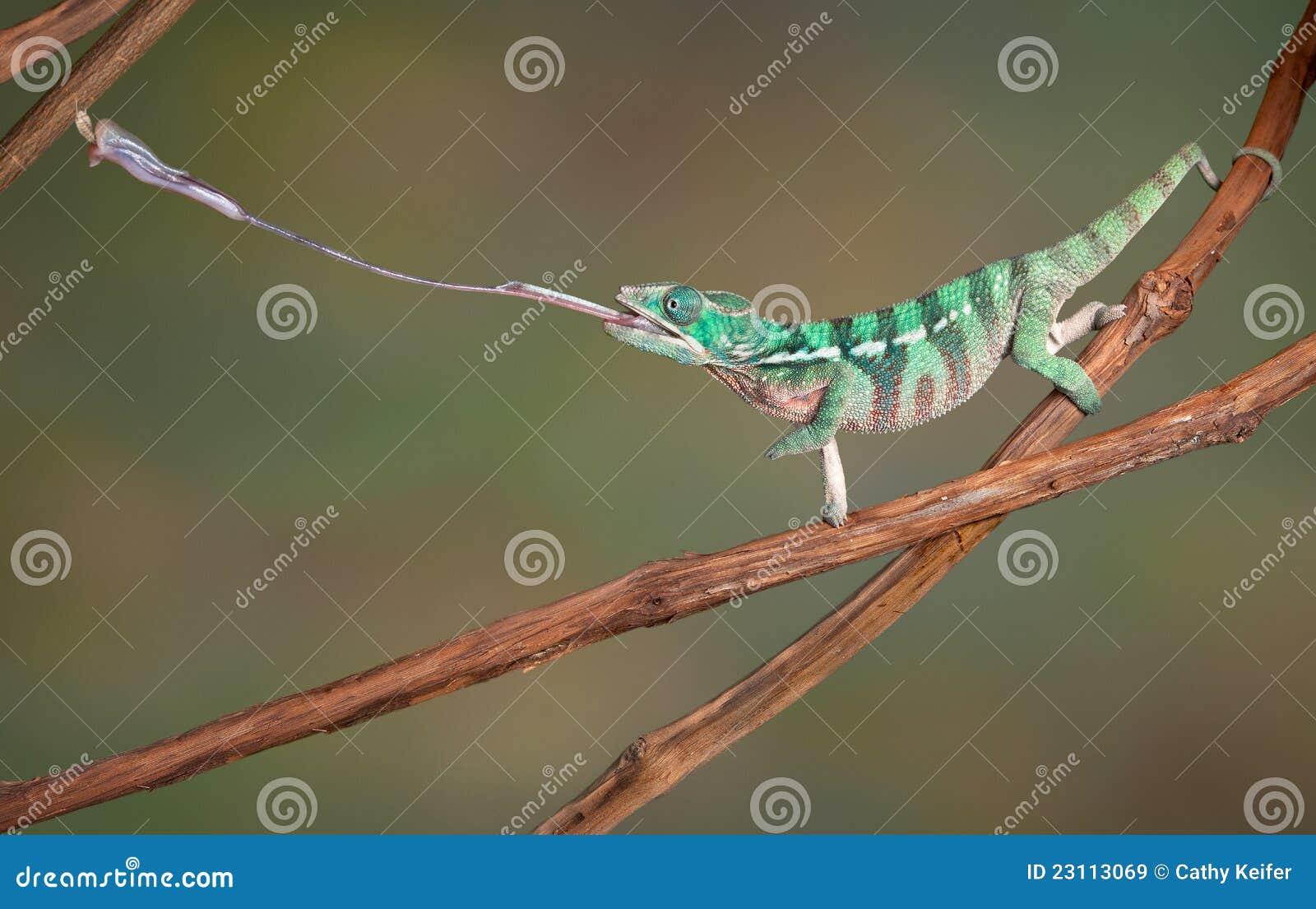 变色蜥蜴射击舌头