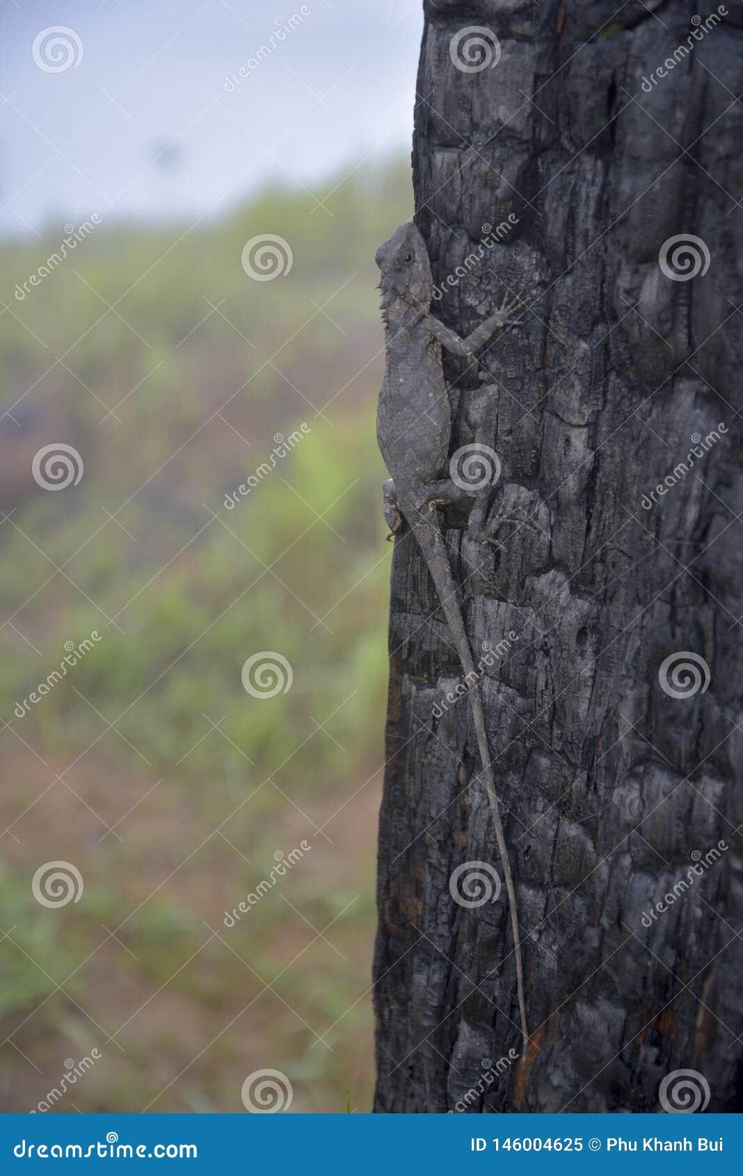 变色蜥蜴改变在被烧的树干第7部分的肤色