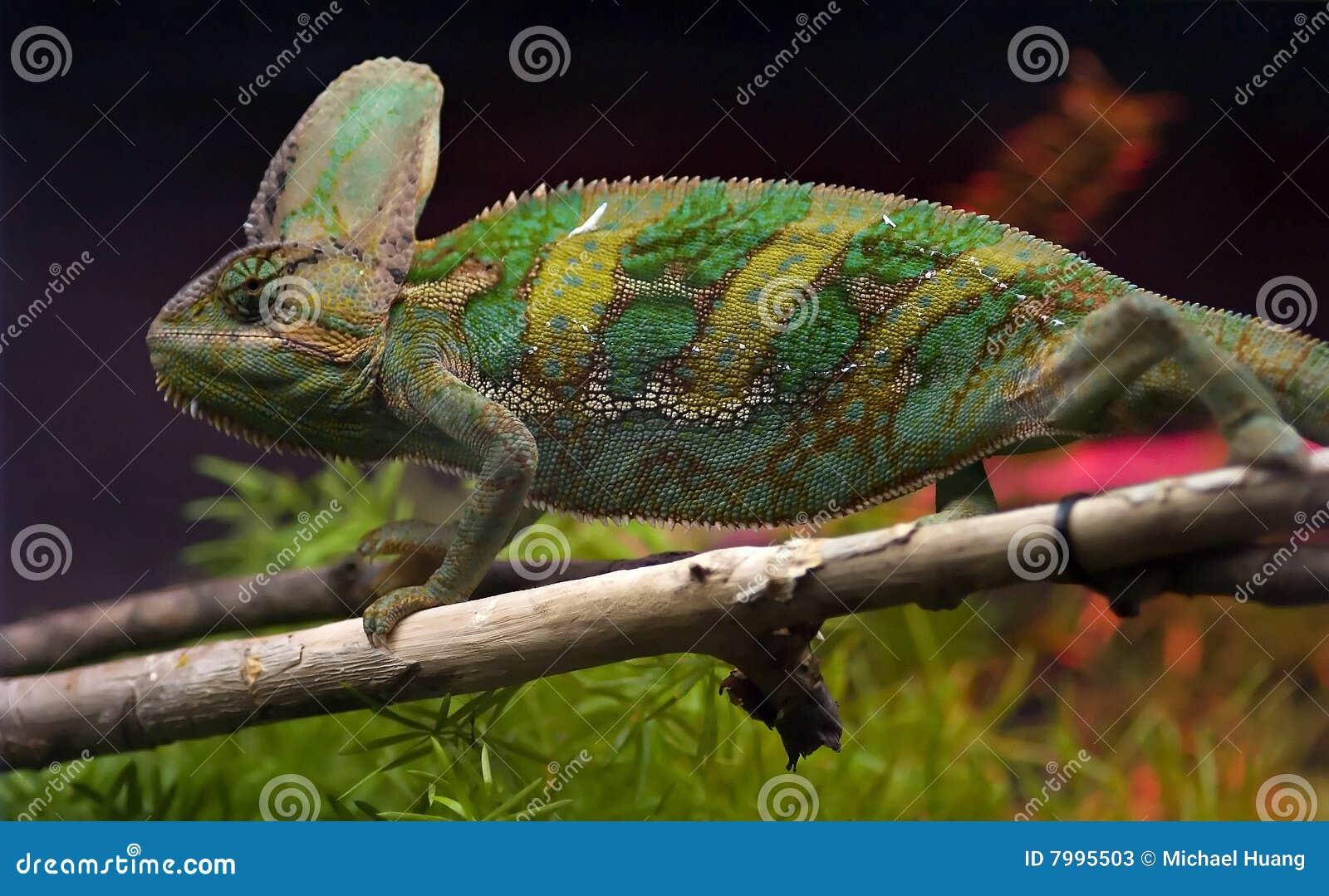 变色蜥蜴结构树