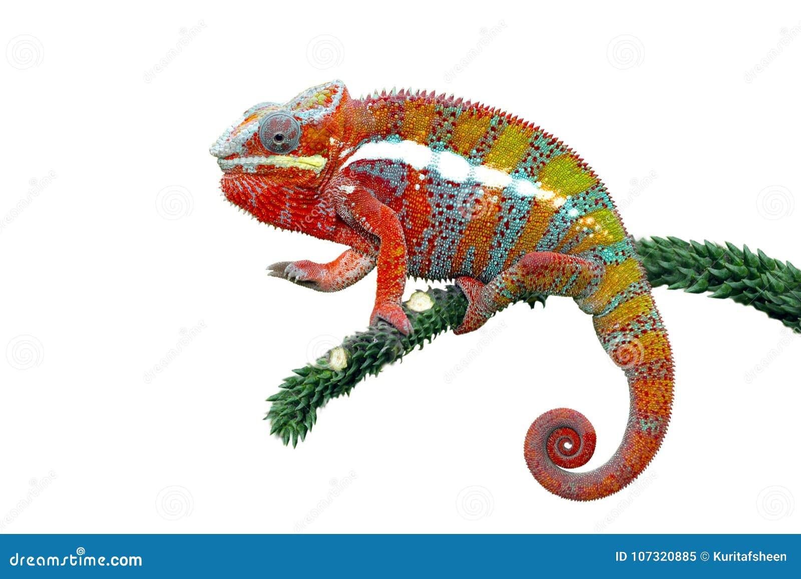 变色蜥蜴豹,变色蜥蜴, colorfull,爬行动物