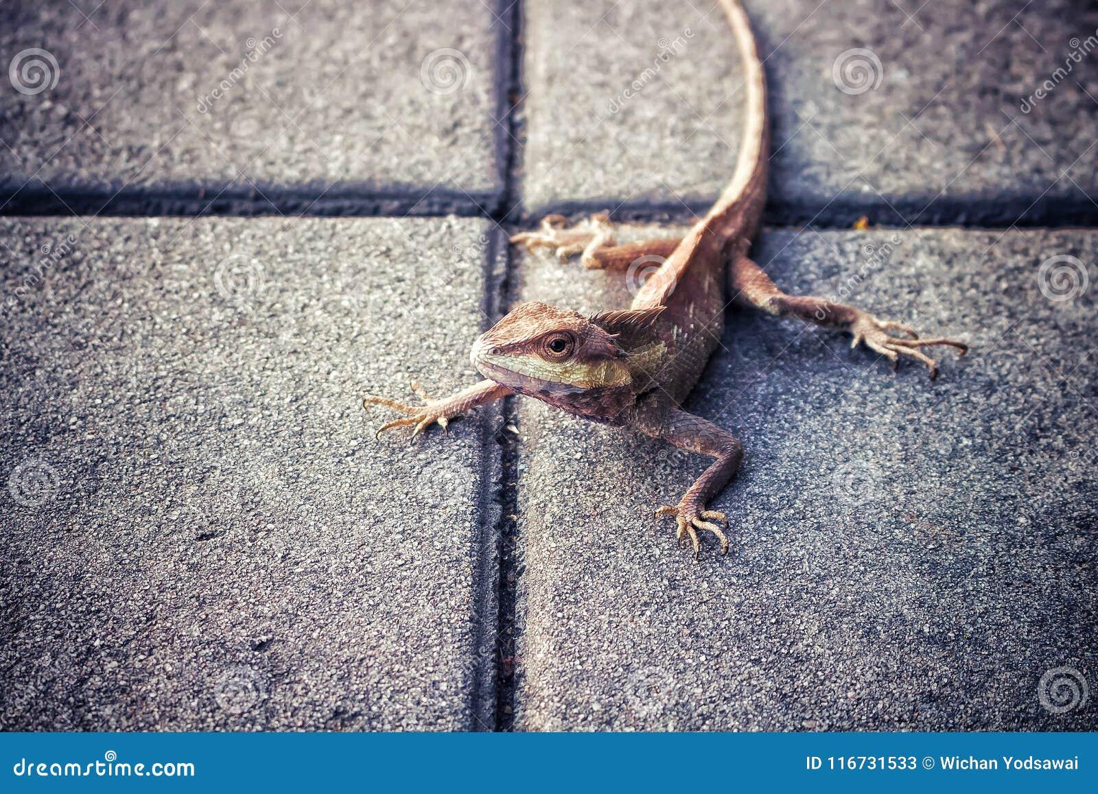 变色蜥蜴,位于泰国的亚洲品种水泥地板