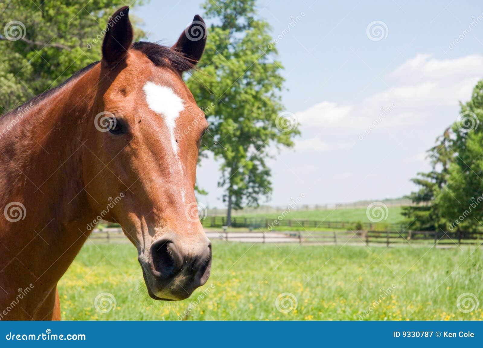 变褐顶头马
