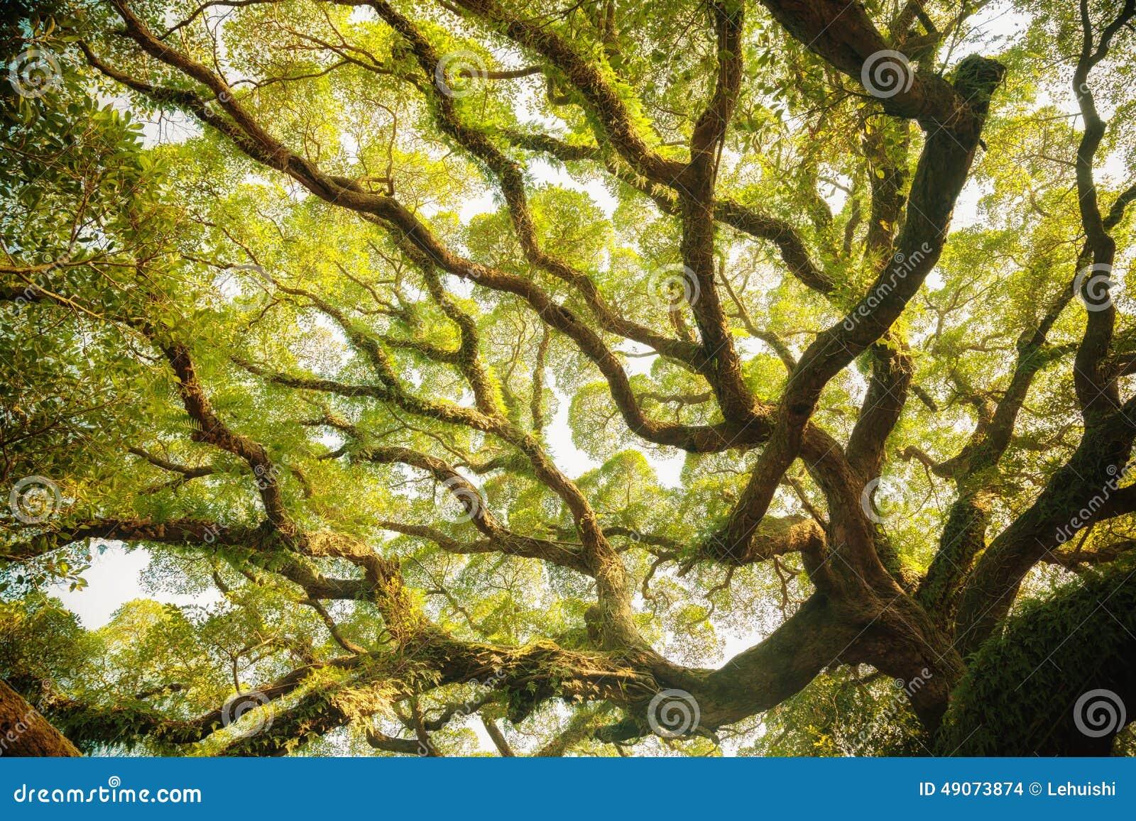 古老印度榕树机盖