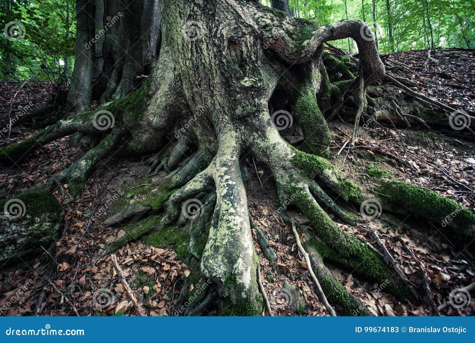 古老山毛榉树巨大的根在雨林Vinatovaca的在Se
