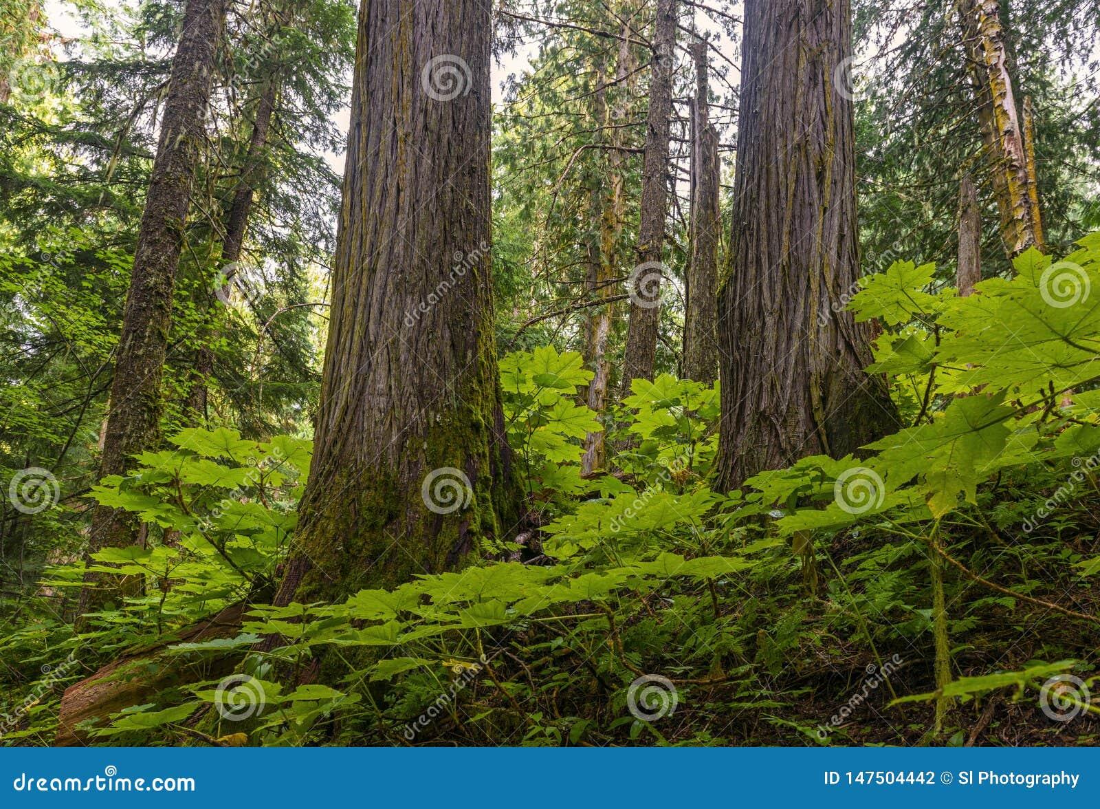 古老森林在不列颠哥伦比亚省,加拿大