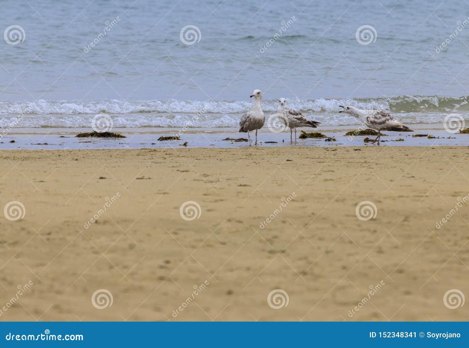 3只海鸥鸥科声明