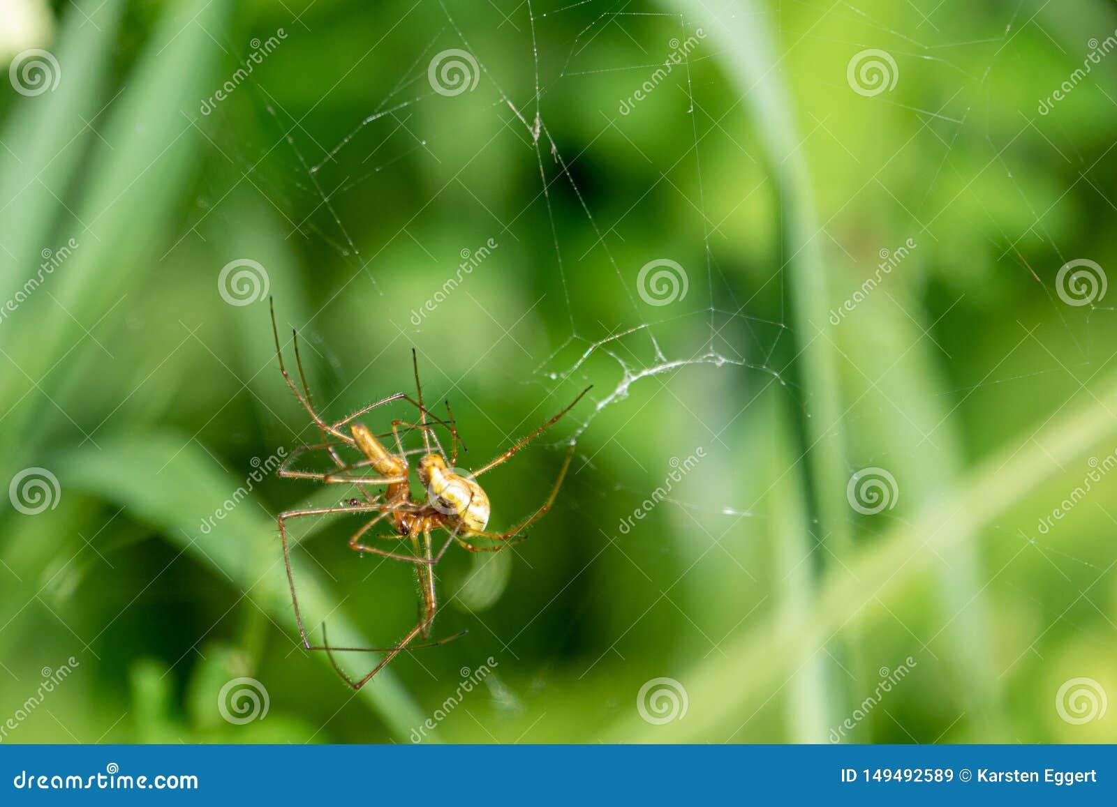 2只蜘蛛在他们的蜘蛛网交配以绿色