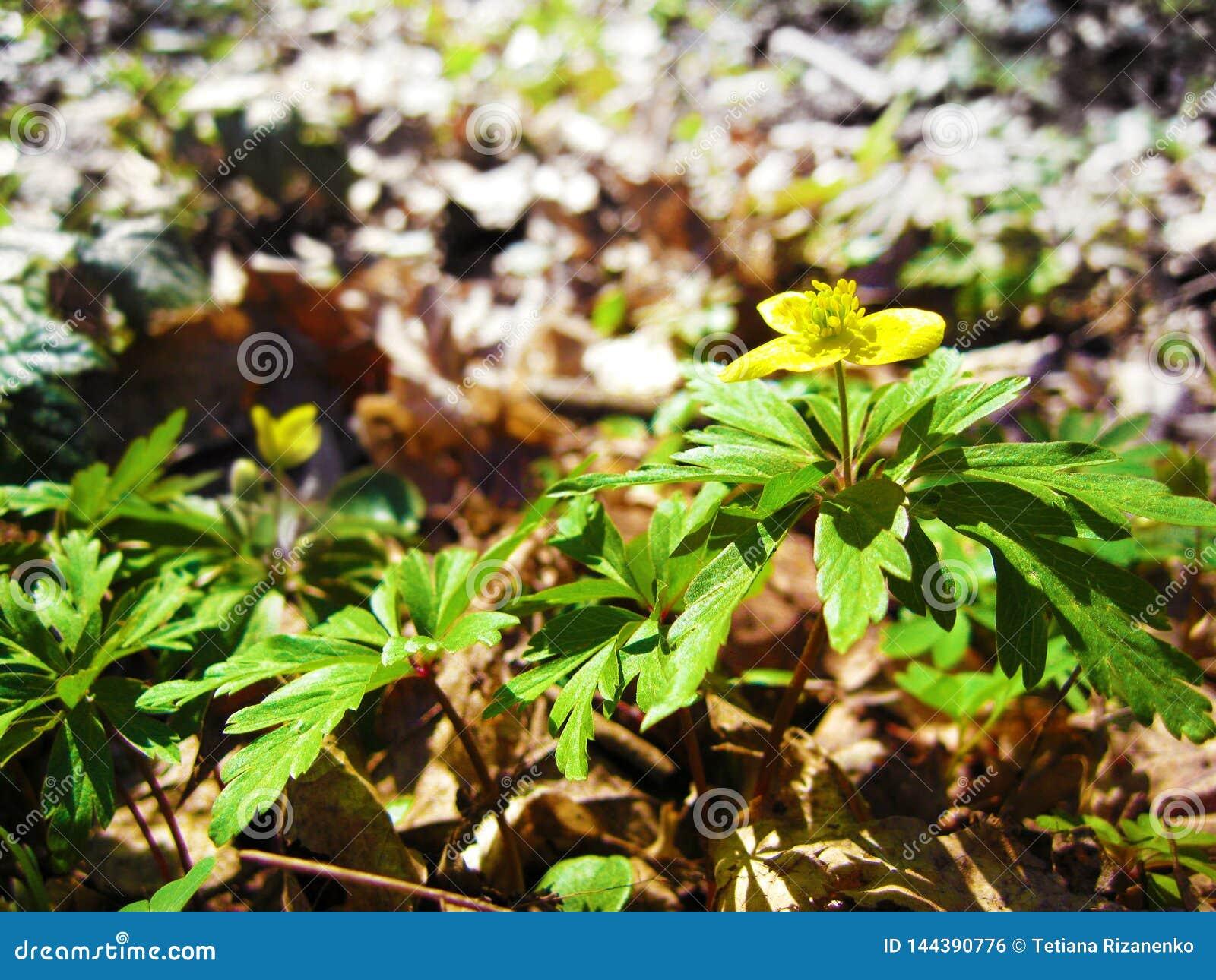 叫作共同的tormentil、septfoil或者笔直五瓣饰特写镜头的开花的委陵菜erecta