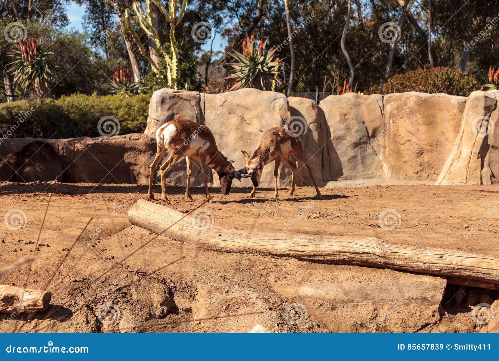 叫作叉角羚属的Pronghorn美国