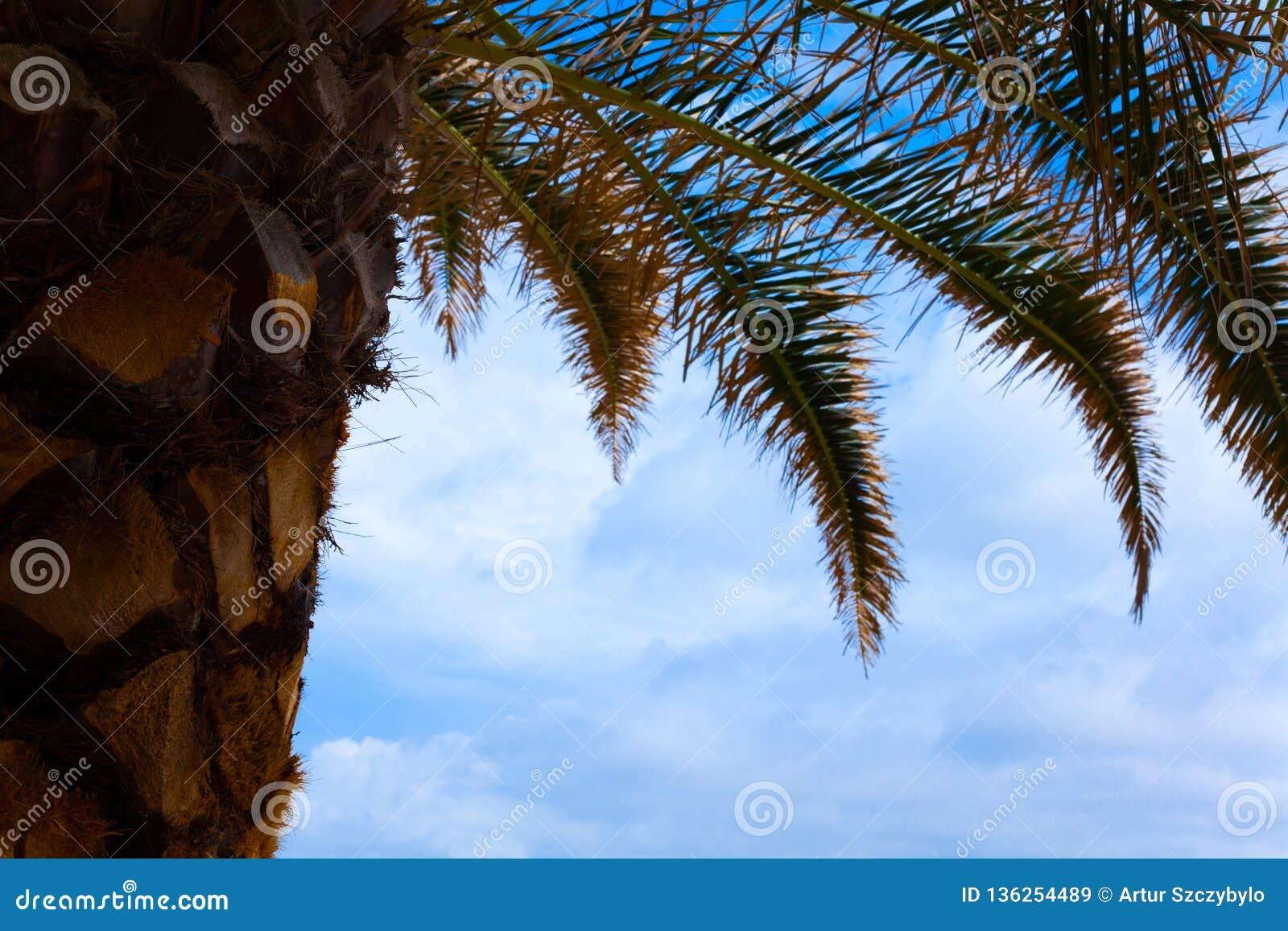 可可椰子厂向上射击  在天空蔚蓝下的干和新鲜的叶状体叶子 树角度图与鳞状和干旱的