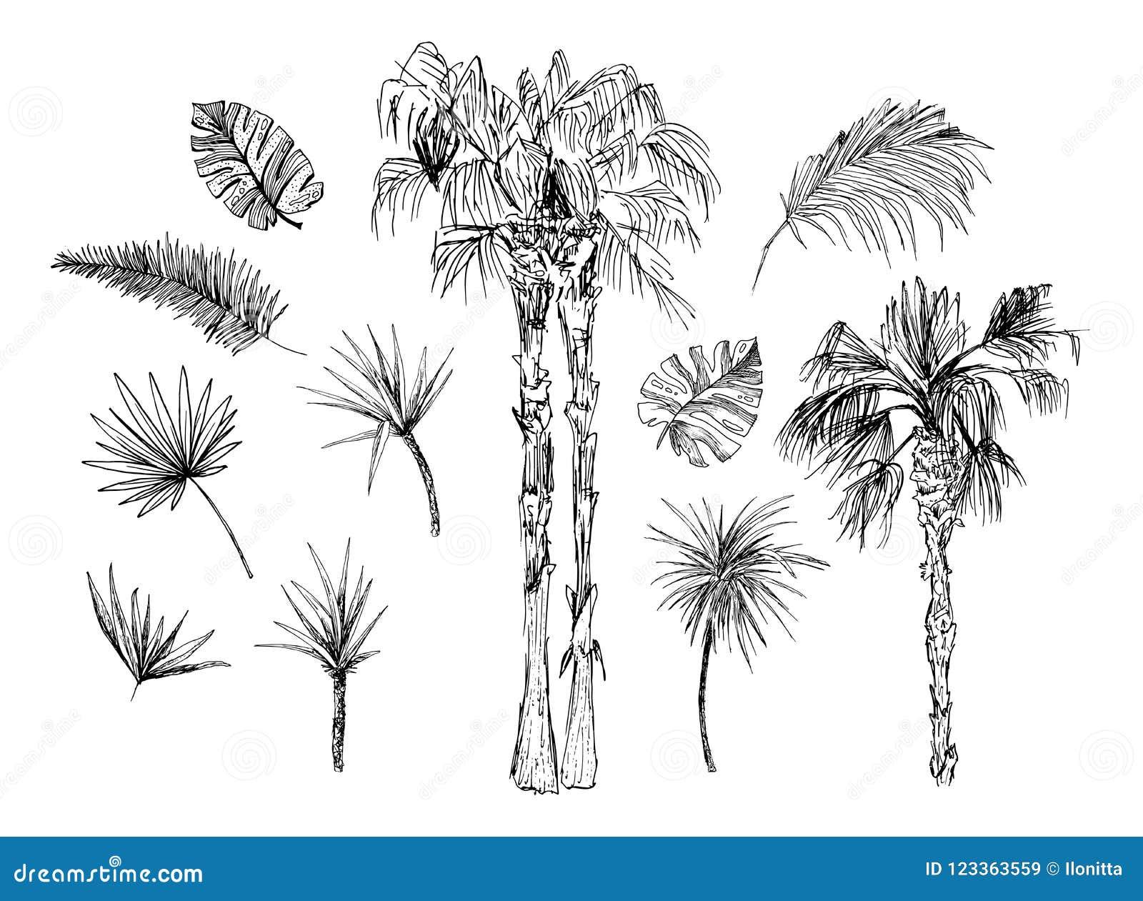 可可椰子速写或与叶子的女王/王后棕榈科图片