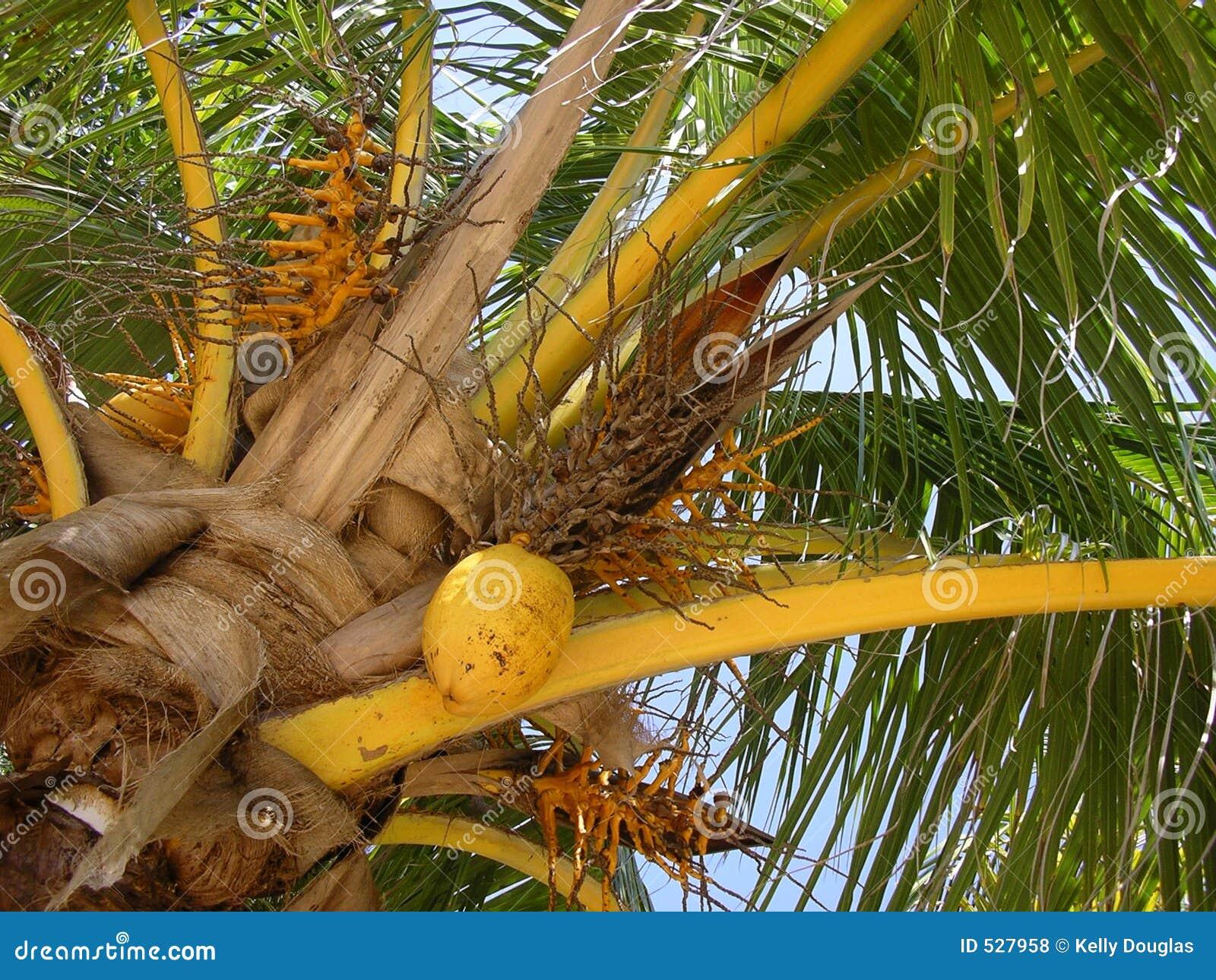 Download 可可椰子 库存照片. 图片 包括有 叶子, 放松, 照亮, 椰子, 黄色, 结构树, 火箭筒, 晴朗, 热带 - 527958