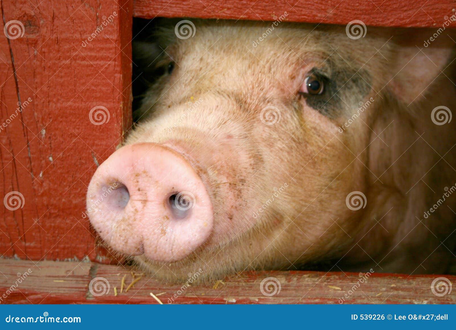 Download 可怜 库存照片. 图片 包括有 家畜, 问题的, 哀伤, 失望, 农村, 母猪, 哀痛, 会议室, 农场, 消沉 - 539226