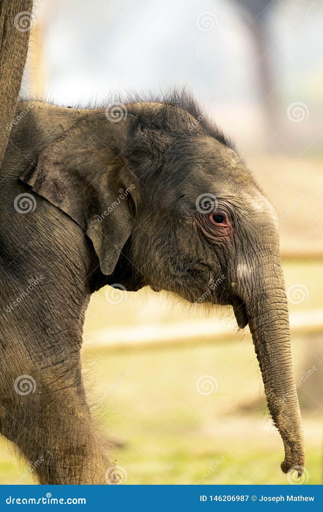 可爱宝贝大象在chitwan国立公园