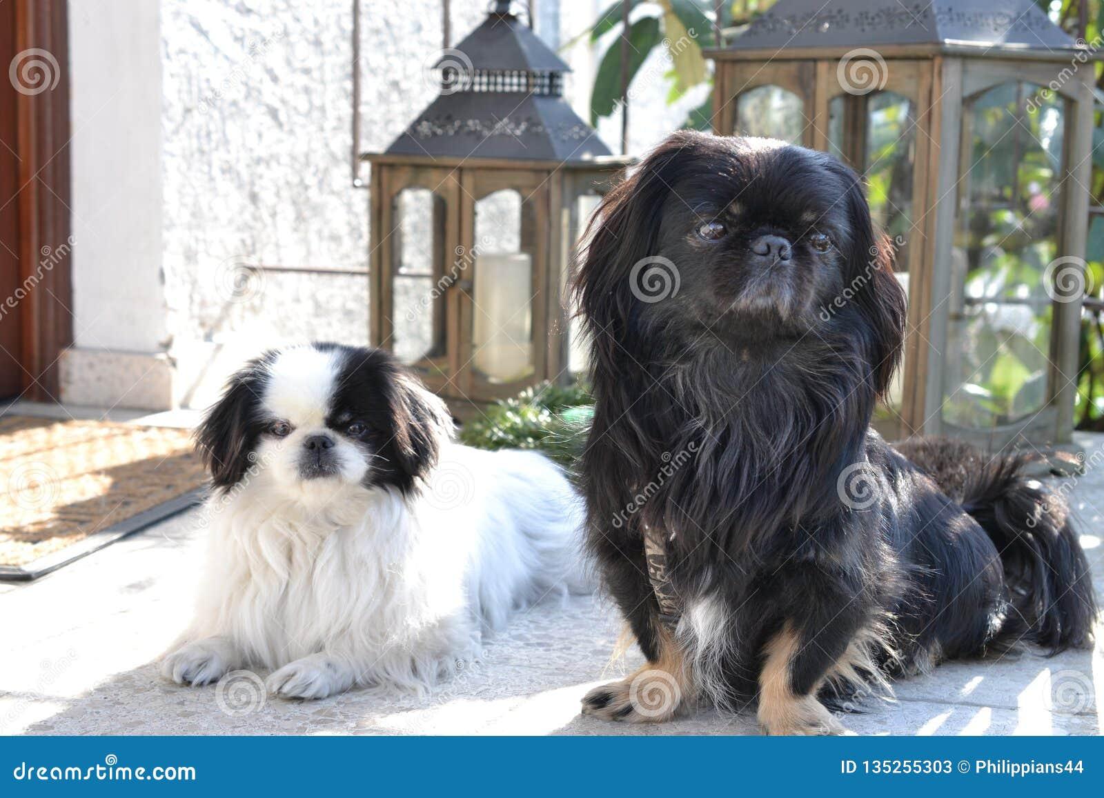 可爱小狮子狗夫妇,白色和黑,短小和一起使用在庭院,Pekingese狗小狗里的长发品种