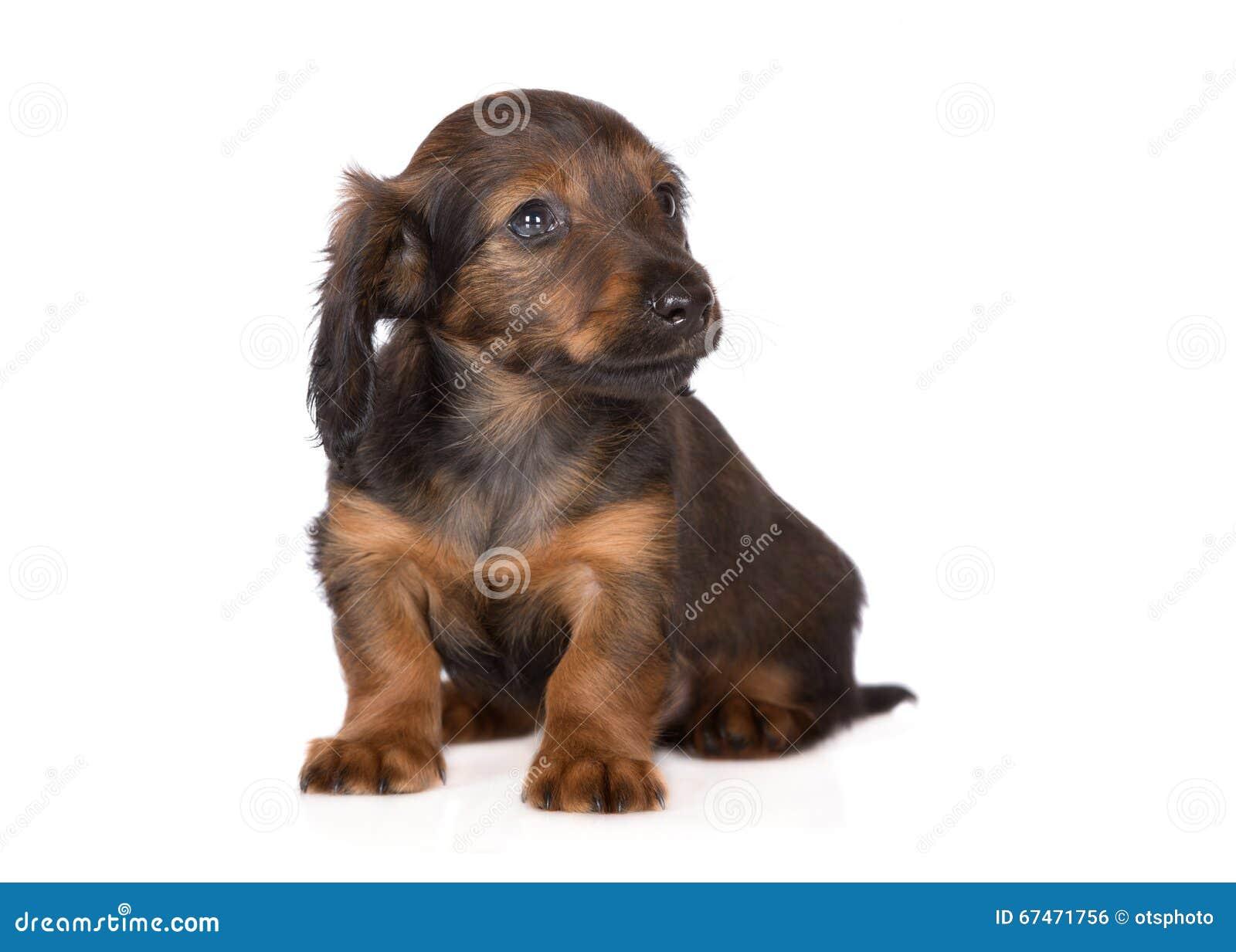 可爱的棕色达克斯猎犬小狗