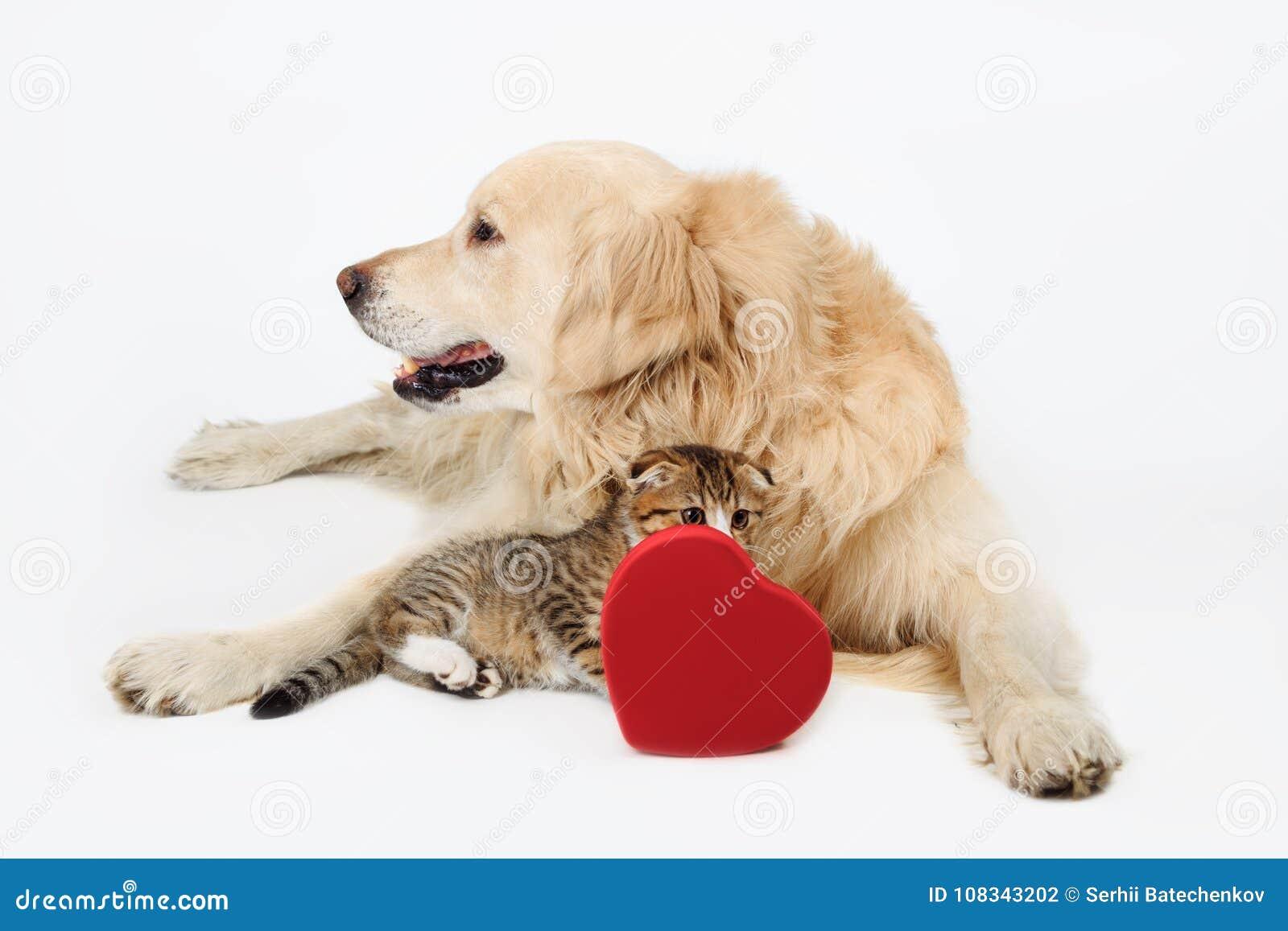 可爱的狗金毛猎犬和逗人喜爱的矮小的苏格兰人折叠与心脏形状箱子的小猫在白色backgroundand 概念亲吻妇女的爱人