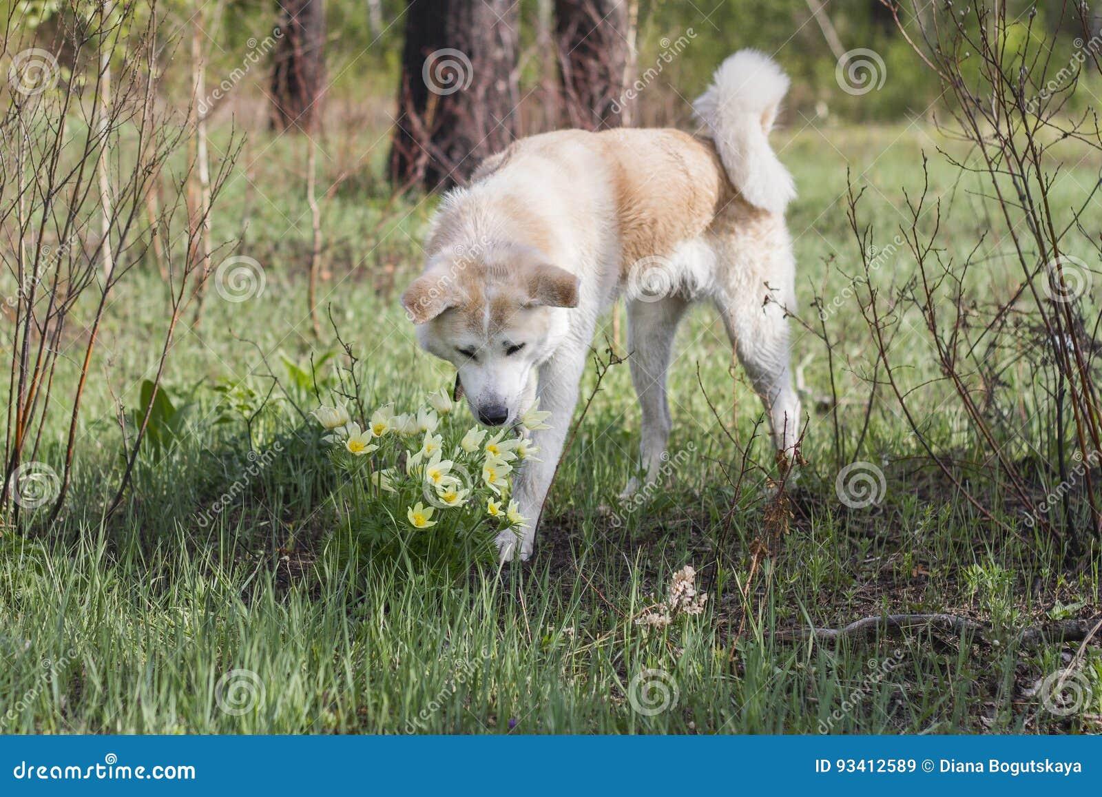 可爱的美好的日本人秋田Inu在森林里在春天嗅黄色snowdrops花在草和树中