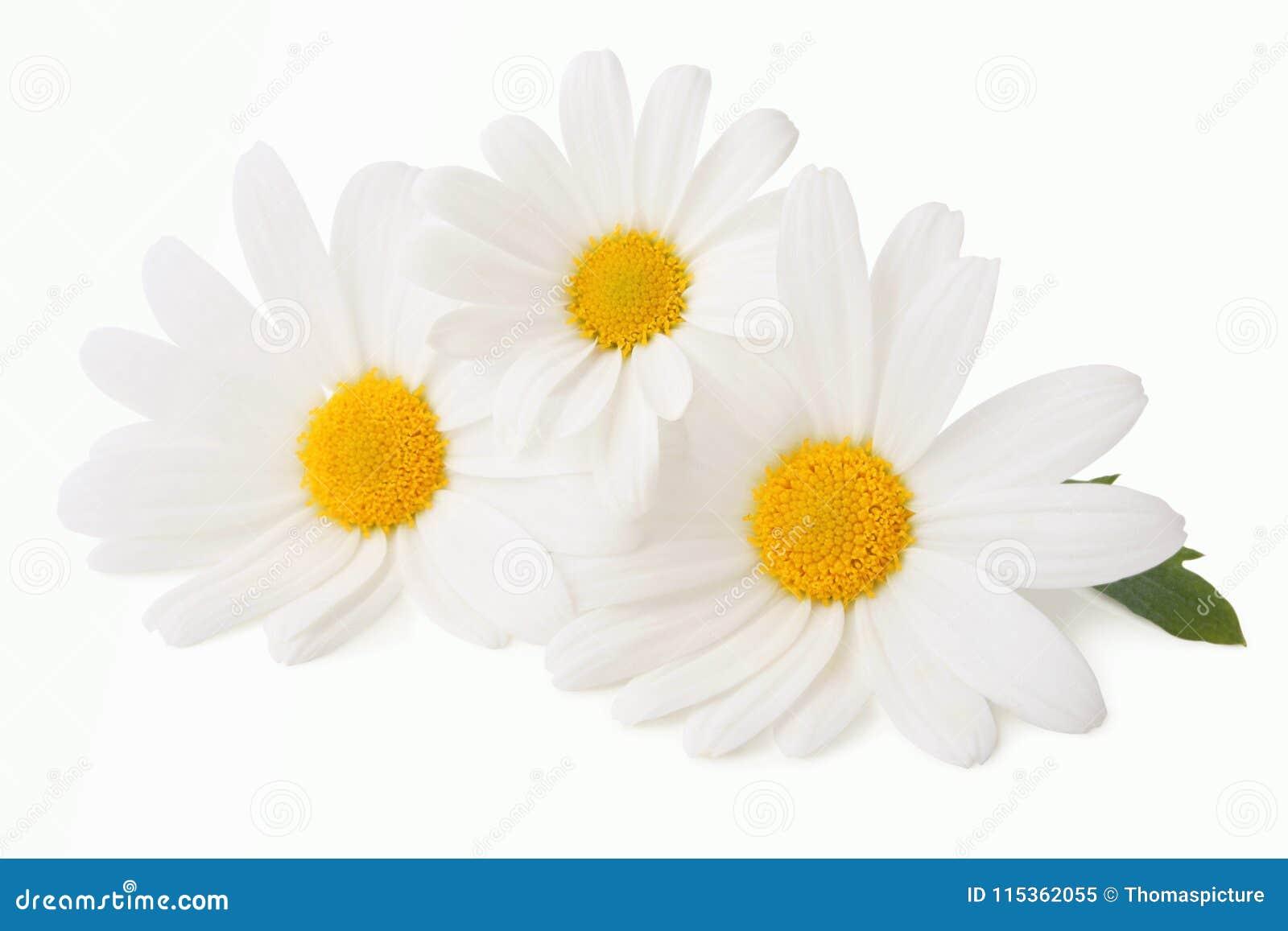可爱的雏菊延命菊被隔绝,包括裁减路线,不用树荫