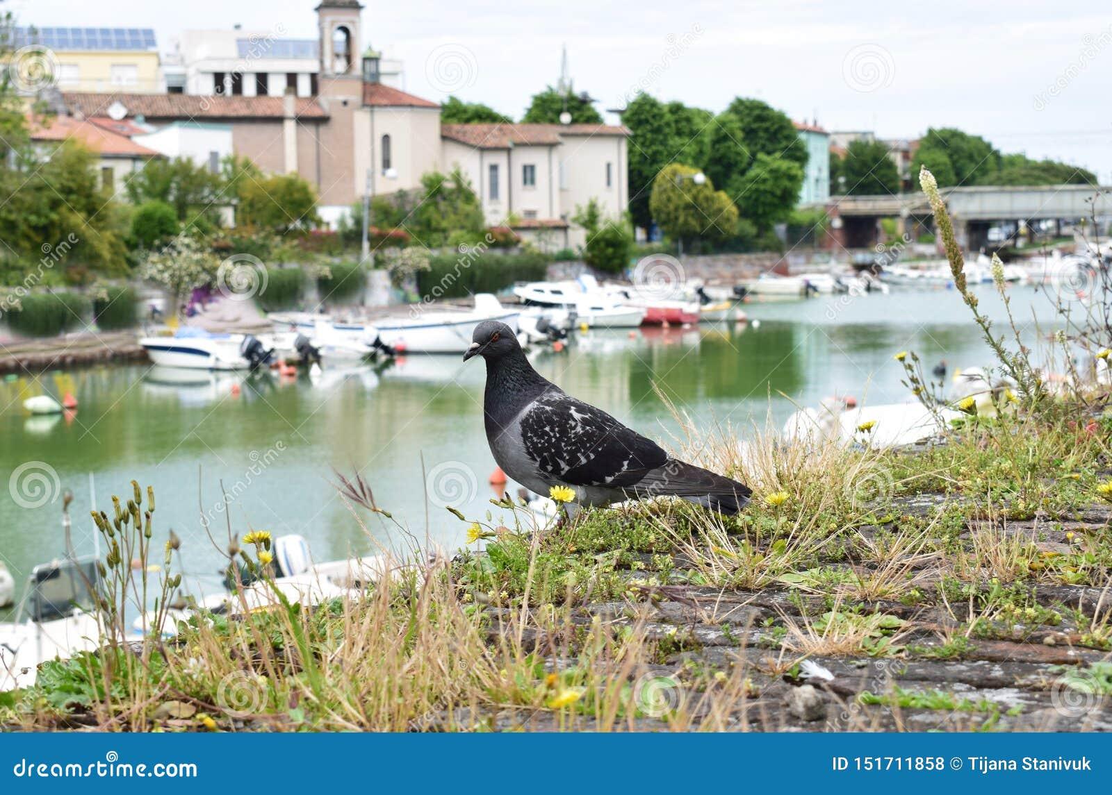 可爱的鸽子,里米尼,意大利
